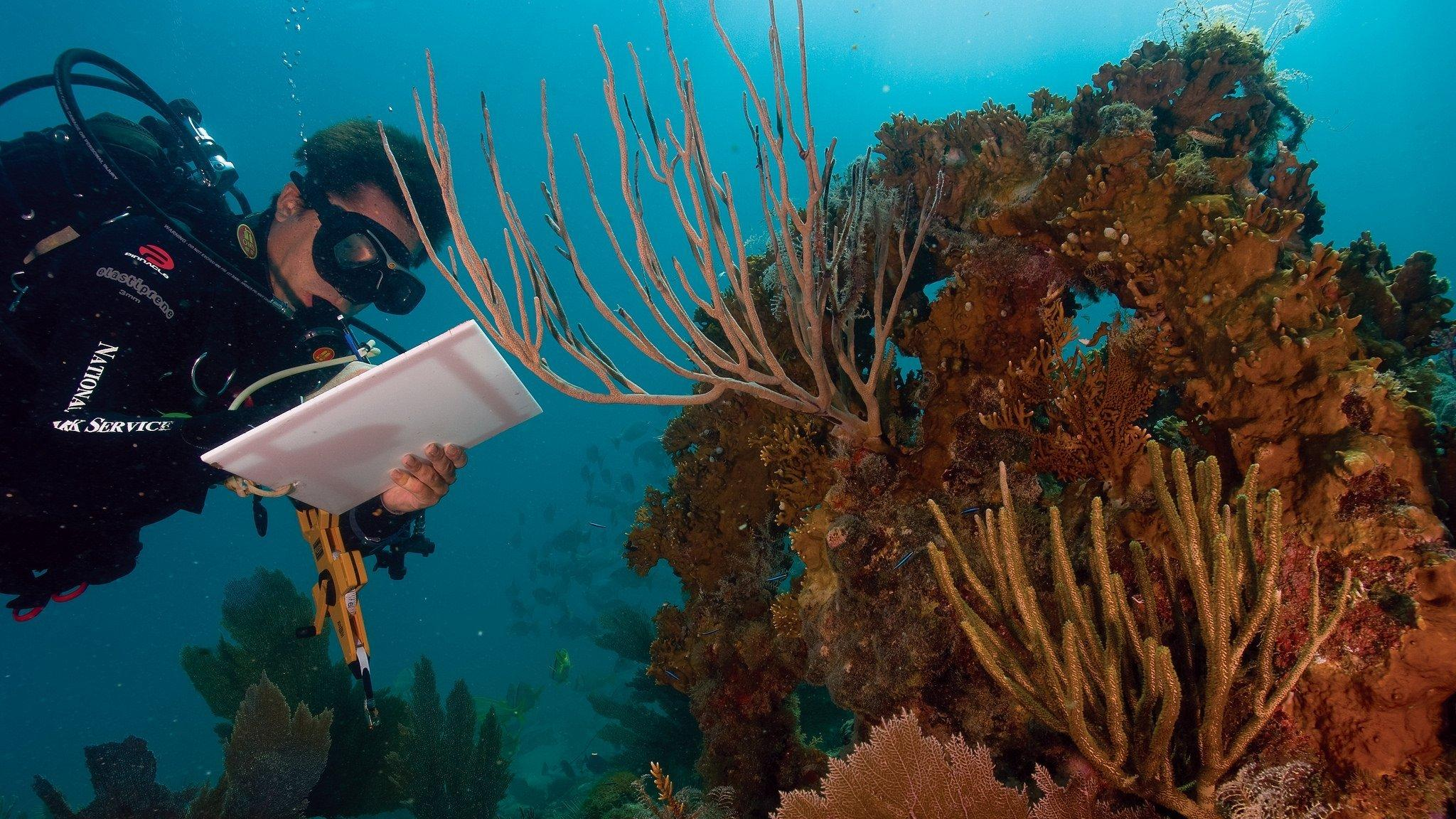 Ein Forscher untersucht eine Korallenbleiche im Virgin Islands National Park in der Karibik.