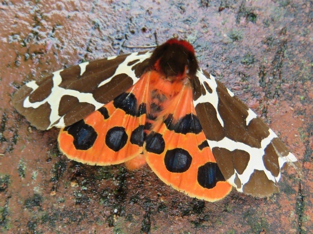 Ein Schmettling, Arctia caja, sitzt auf einem Stein. Seine äußeren Flügel sind braun mit weißen Streifen, die inneren orange mit schwarzen Flecken.