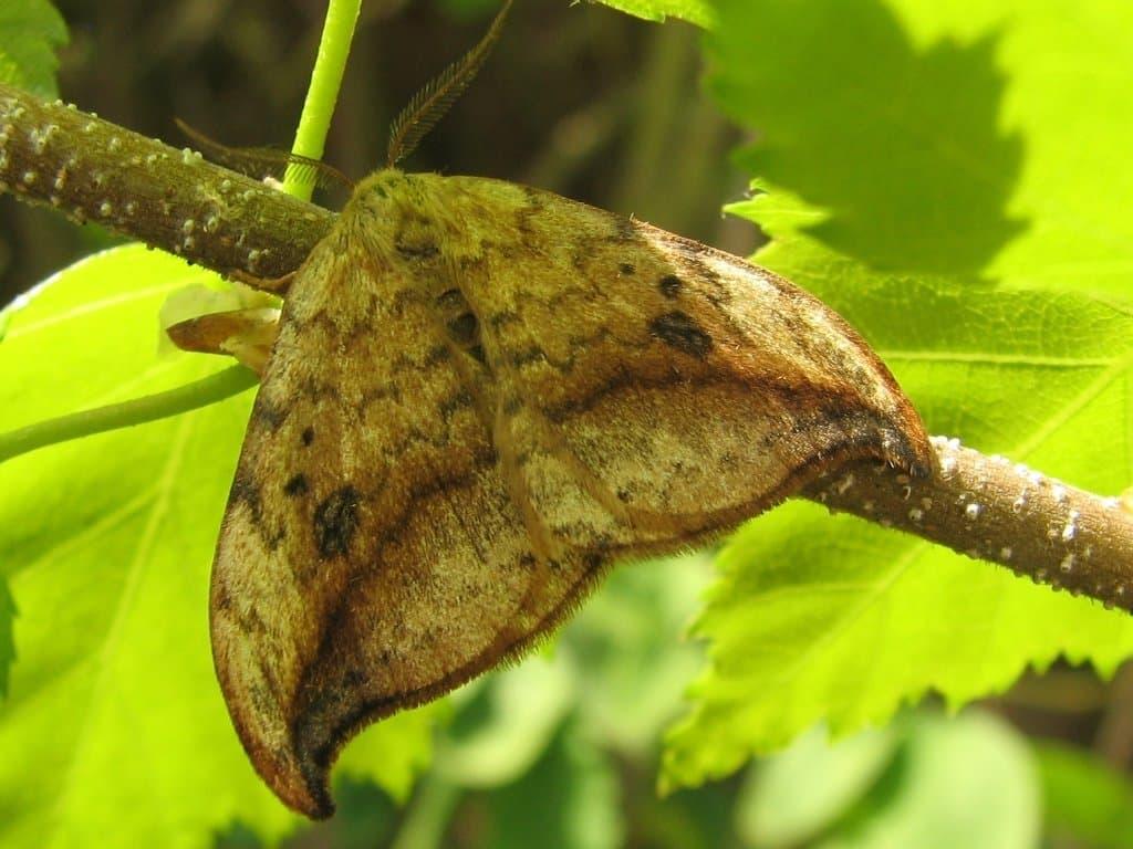 Ein Heller Sichelflügler (Depana falcataria) sitzt auf einem Ast.
