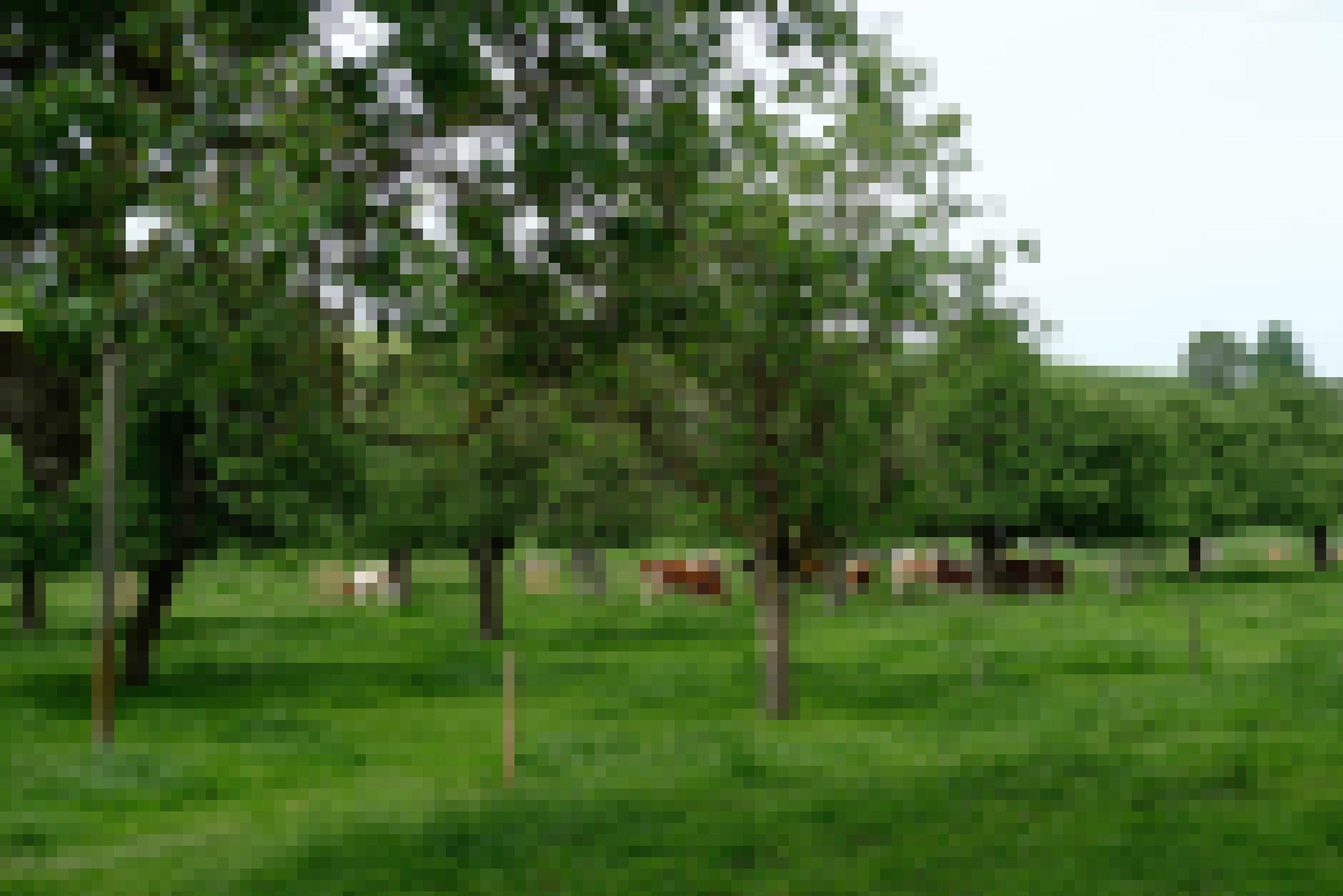 Eine Wiese mit Hochstammobstbäumen und Kühen neben dem Bauernhof von Andreas Aebi in Alchenstorf.