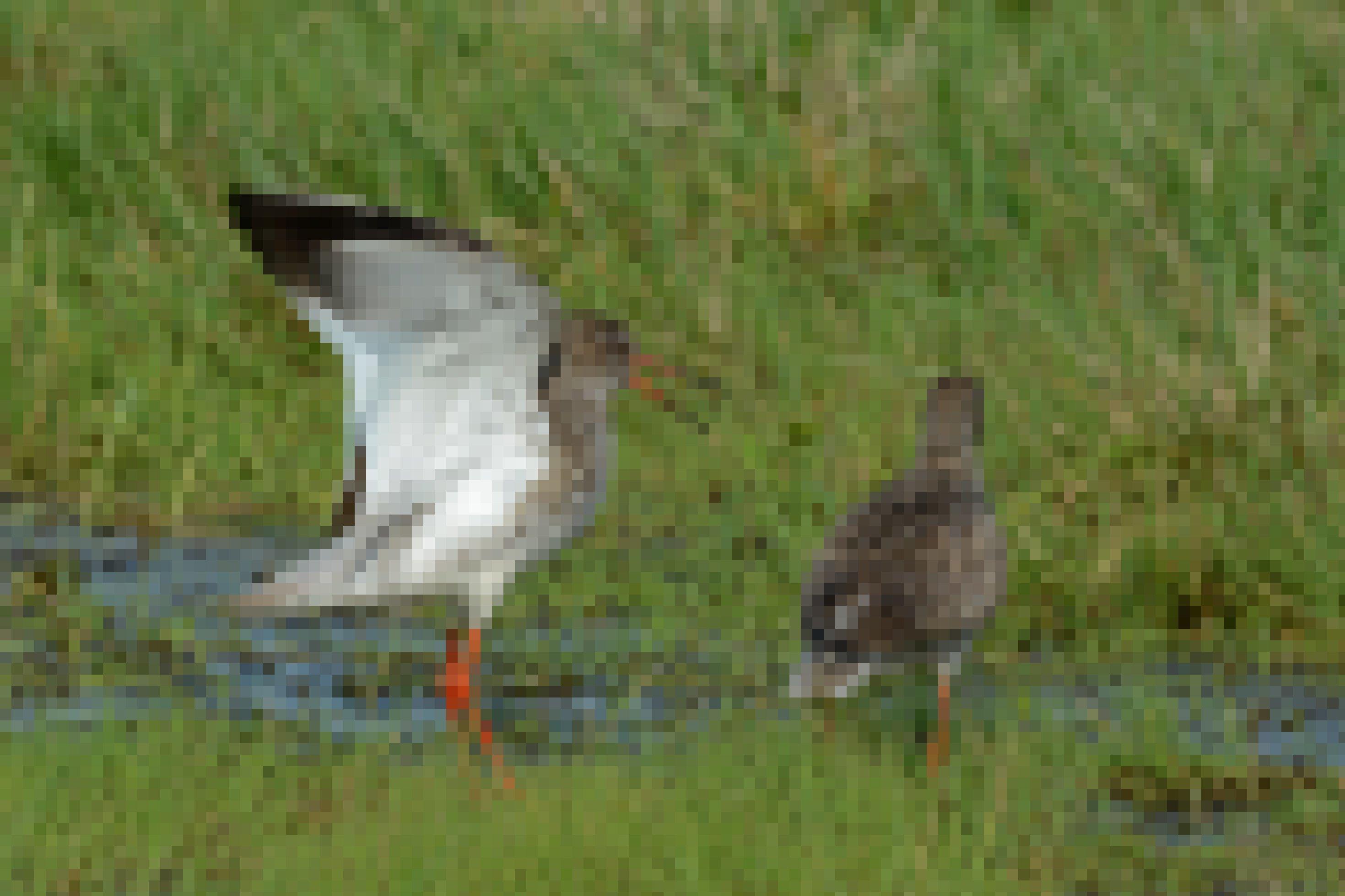 Zwei Rotschenkel im Gras. Der eine hat seinen langen, an der Wurzel roten Schnabel leicht geöffnet, bei zeigen ihre namensgebenden leuchtend roten Beine