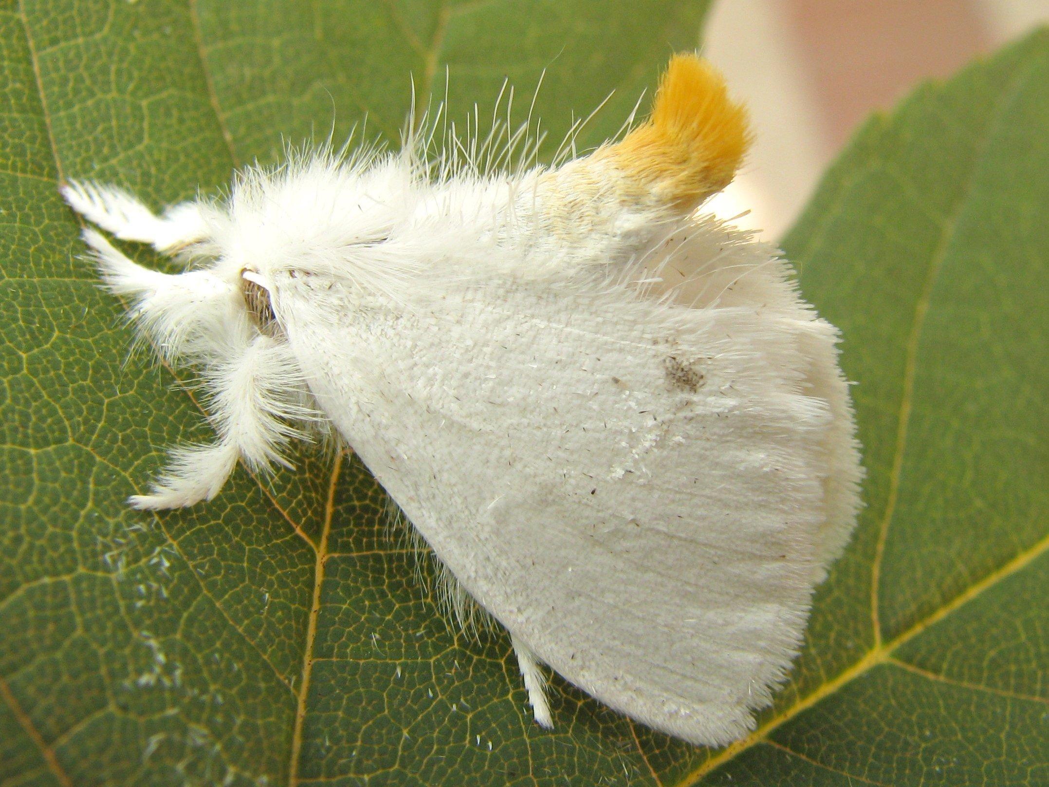 Ein Schwan, euproctis similis, (Schmetterling) sitzt auf einem Blatt. Er ist schneeweiß und es stehen viele Haare von ihm ab.