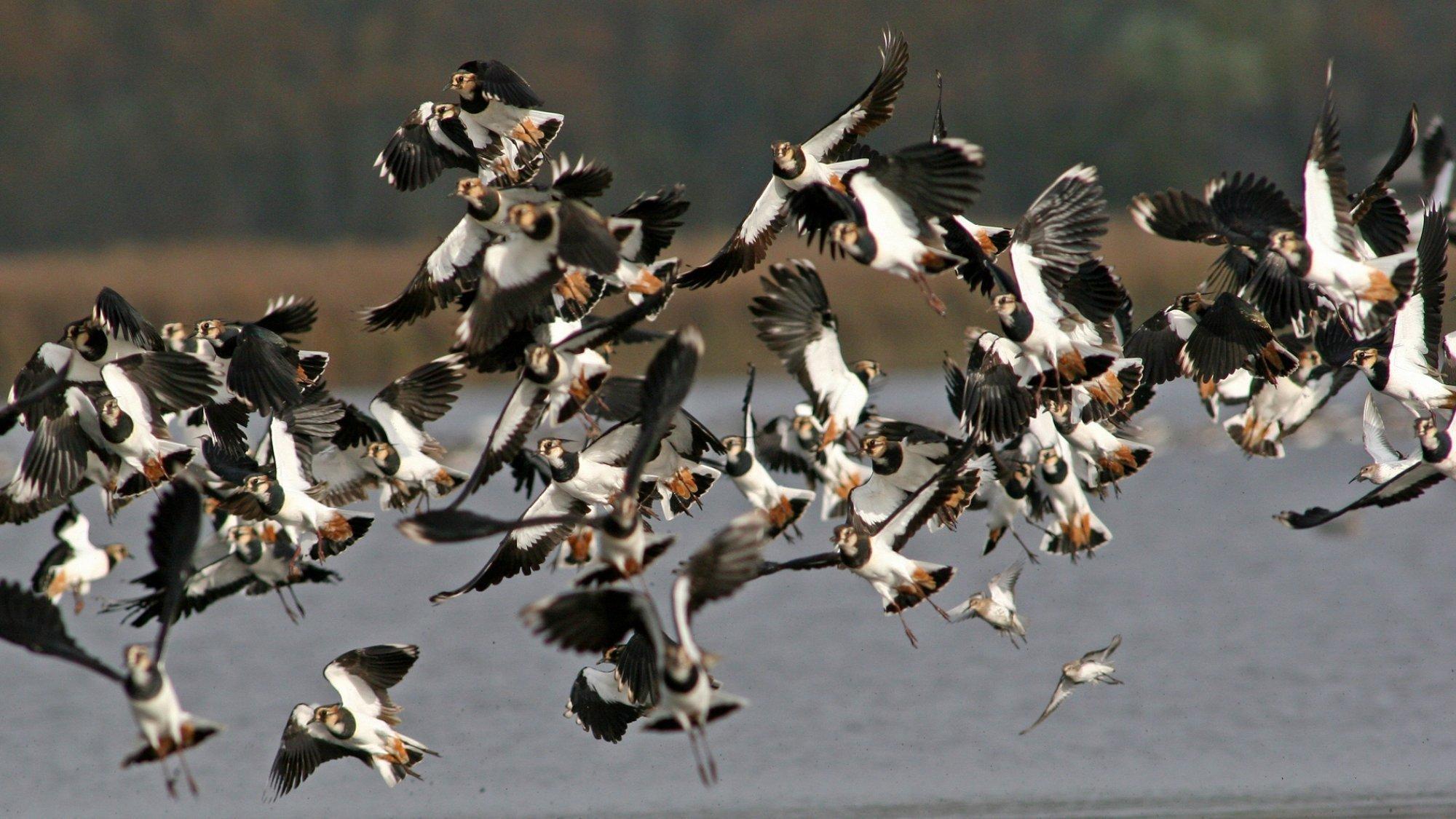 Ein Schwarm von rund 50Kiebitzen beim Anflug auf eine Rastfläche am See