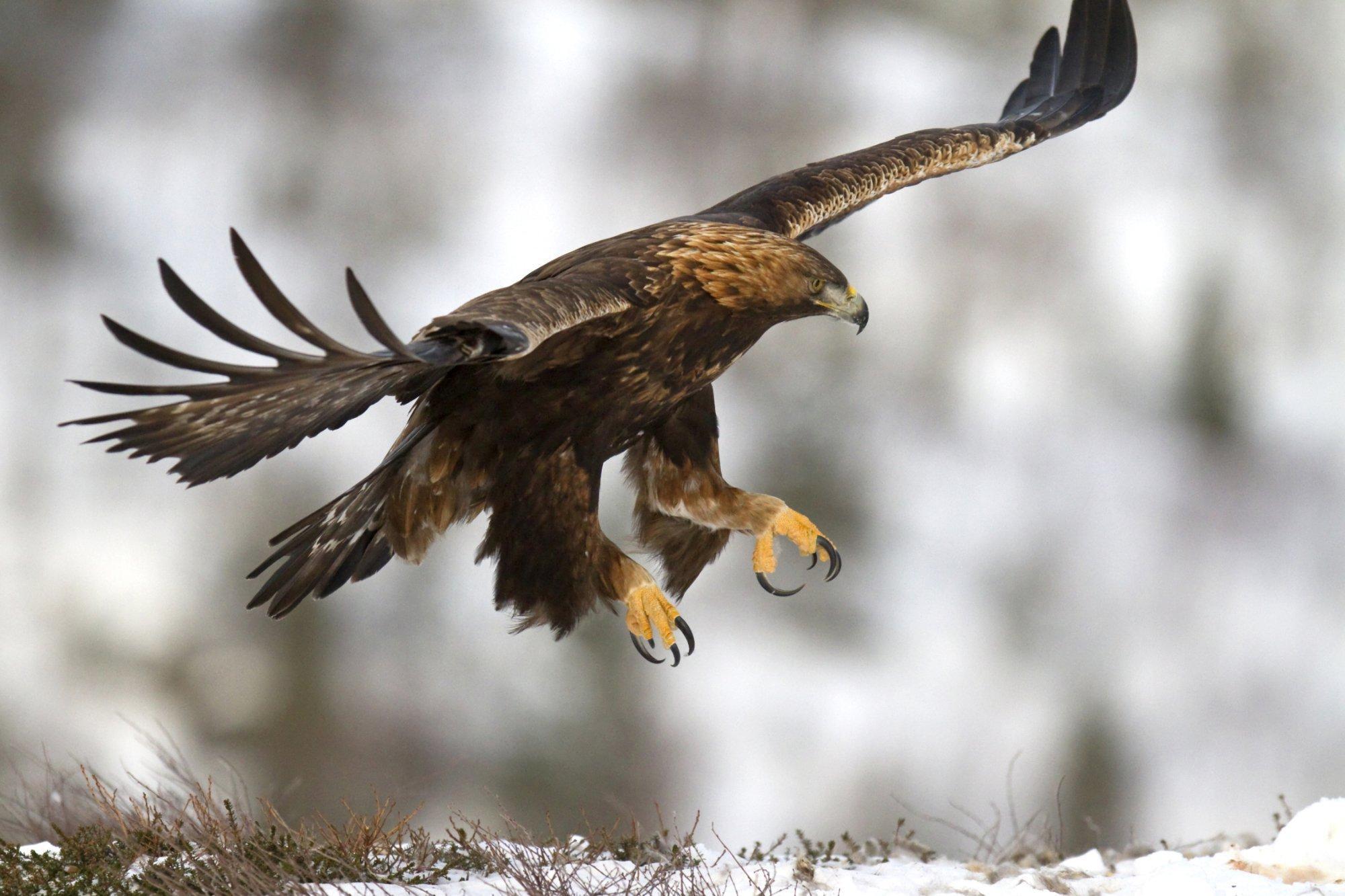 Ein Steinadler landet mit ausgebreiteten Flügeln und vorgestreckten Krallen auf einer Schneefläche im Gebirge