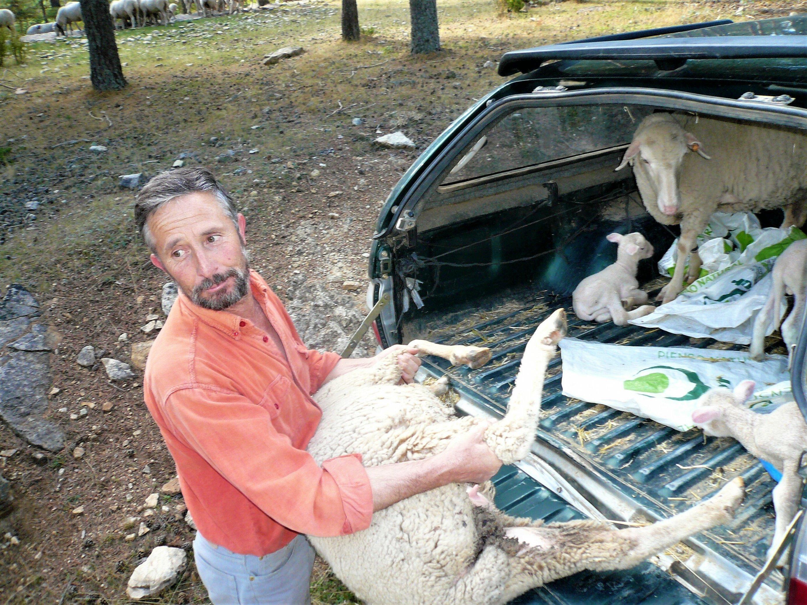 Ein Schäfer hat ein großes Schaf an den Beinen gepackt, um es in den Laderaum seines Kombi zu schieben.