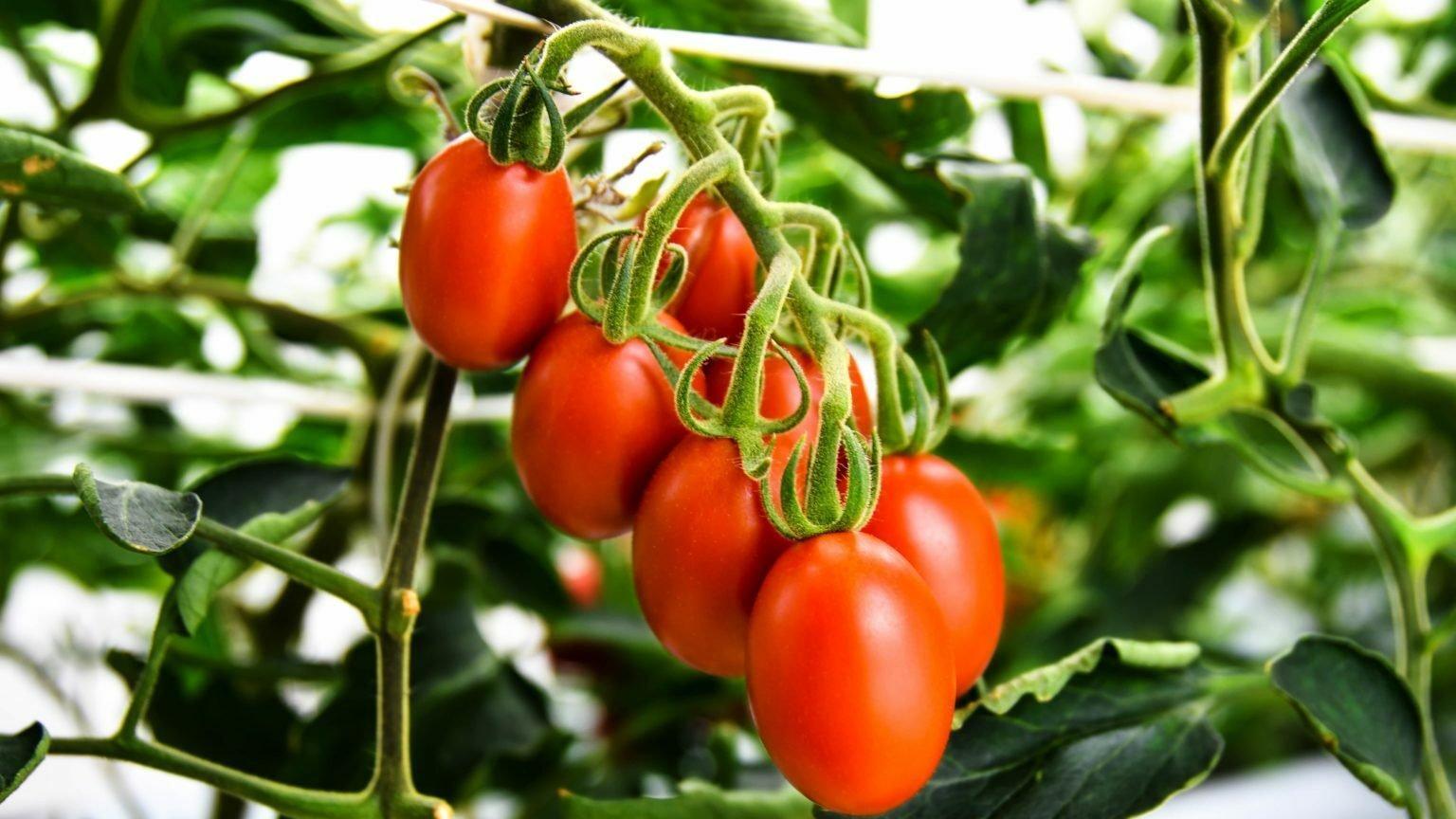 Äußerlich gewöhnliche Tomaten hängen an einem Strauch. Sie wurden mit Gentechnik gezüchtet und senken den Blutdruck
