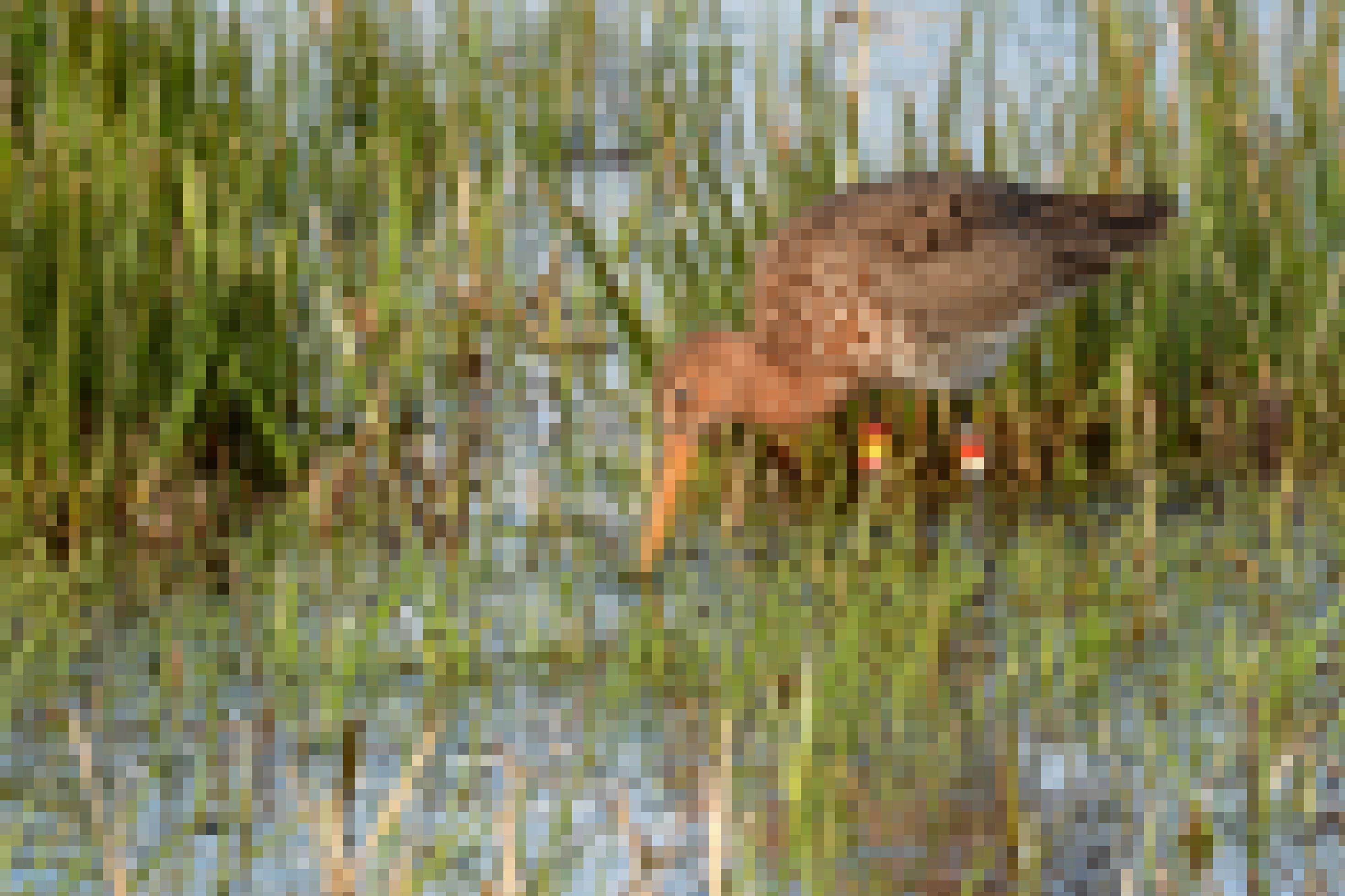 Foto einer Uferschnepfe im Wasser. Sie steht im Schilf und hält die Schnabelspitze im Wasser. An ihren Beinen befinden sich mehrere bunte Ringe.