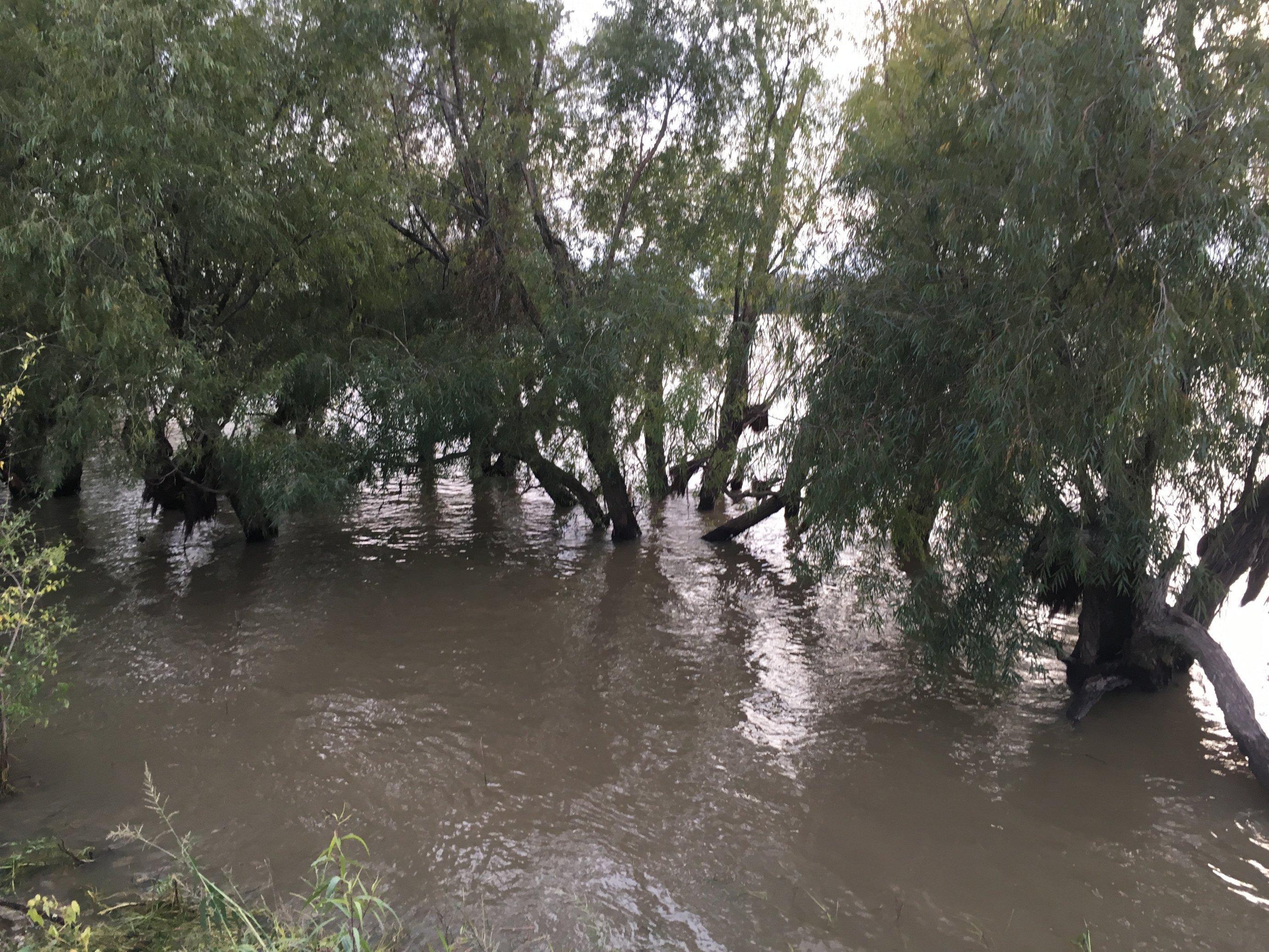 Zeugen des jüngsten Hochwassers: junge Wurzeln an den Stämmen der Uferweiden