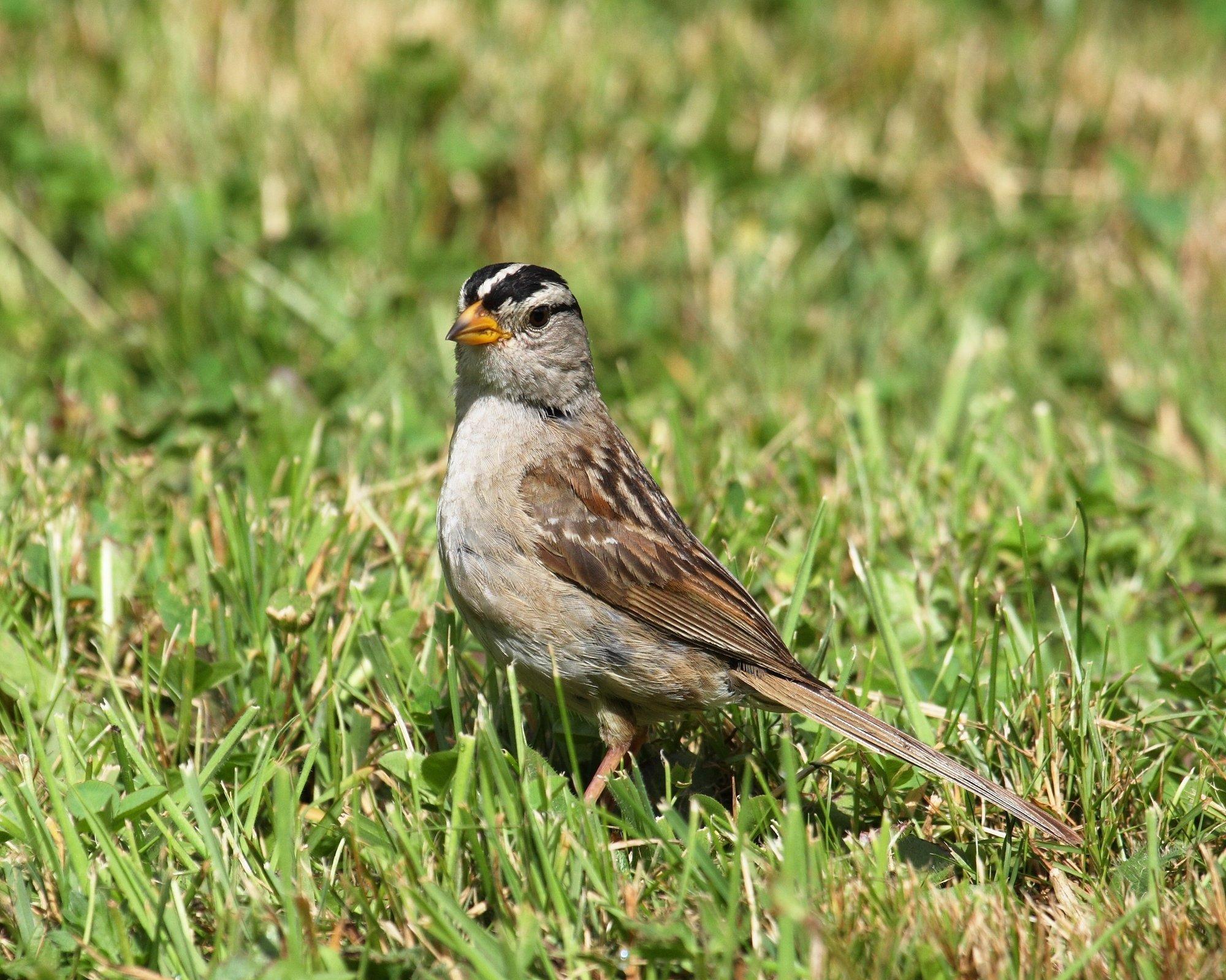 Eine Dachsammer, ein kleiner Singvogel, der an die Grauammer erinnert, sitzt auf dem Boden