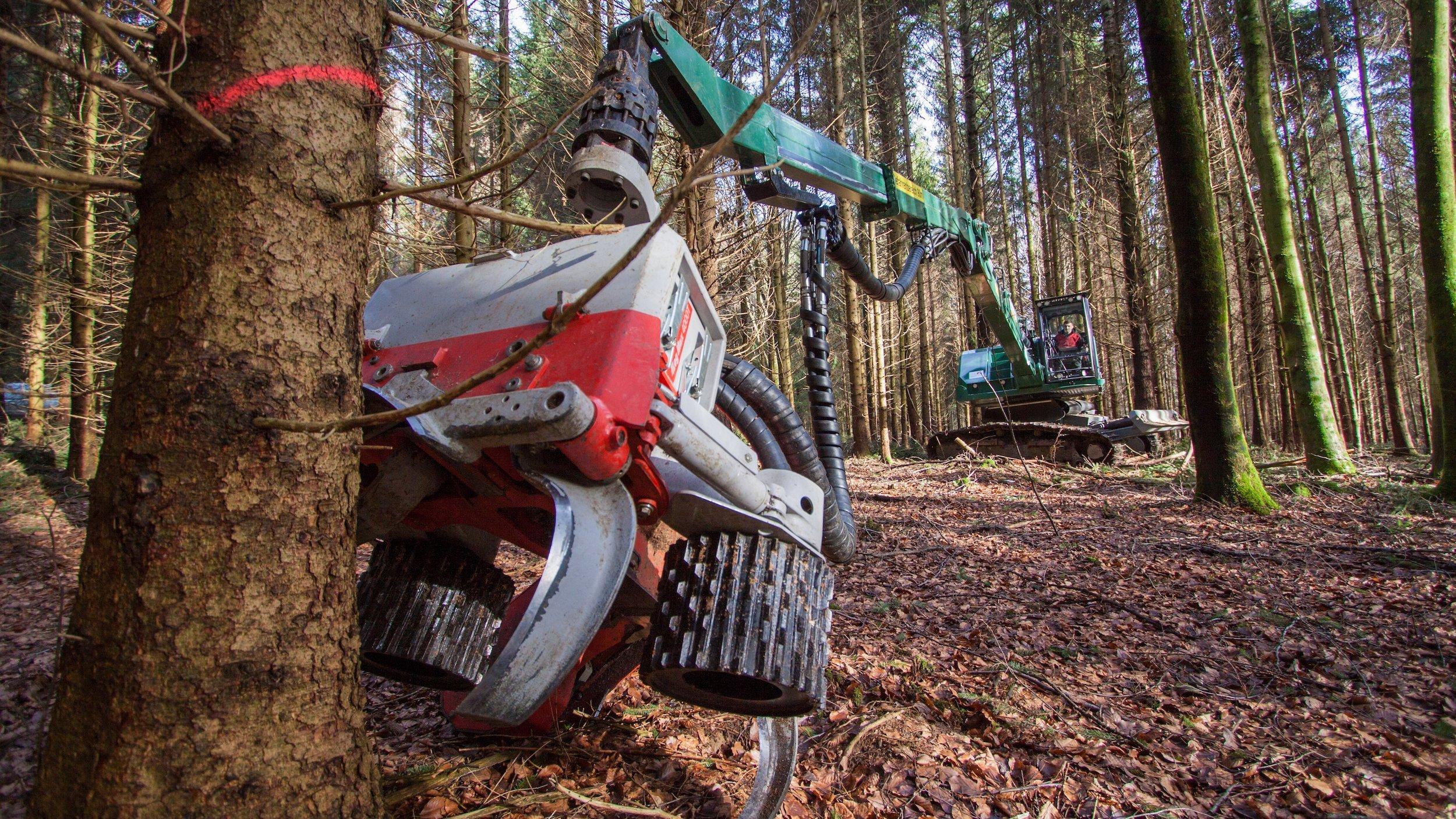 Eine Forstmaschine fällt Fichten in einem Wald.