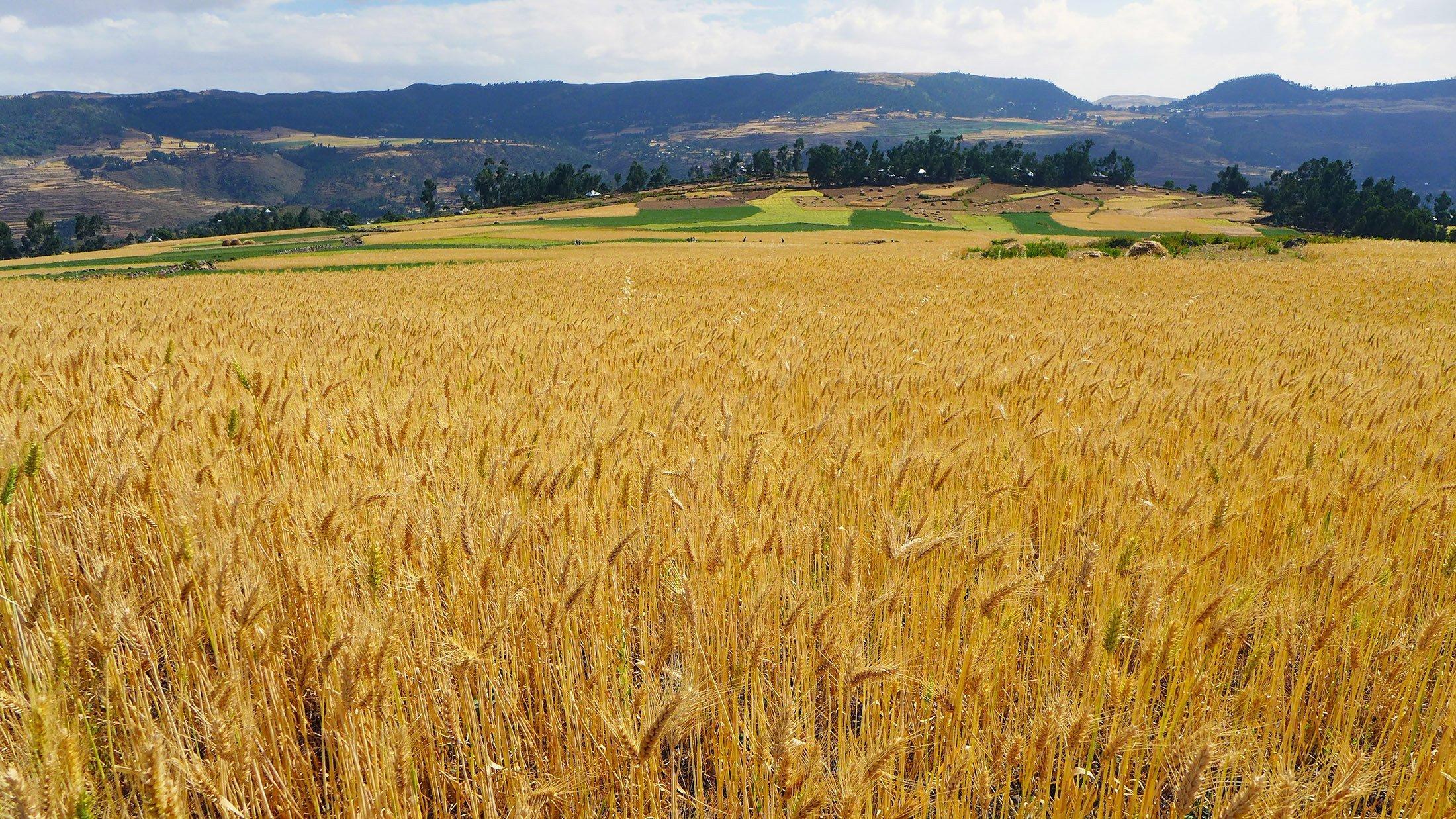 Im Vordergrund steht der reife Weizen im Feld, im Hintergrund sieht man weitere kleinräumige Felder und einen Gebirgszug.