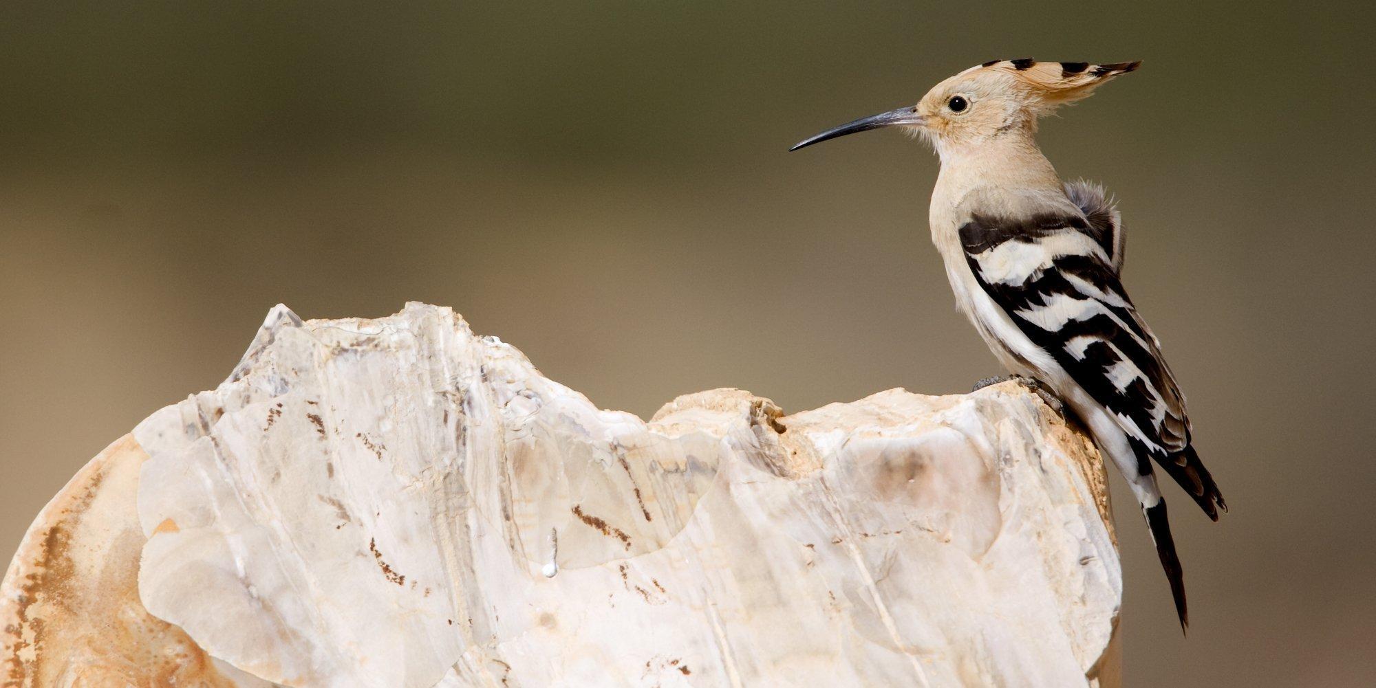Ein Wiedehopf sitzt auf einem Stein. Es ist ein großer ockerfarbener Vogel mit schwarz-weißen Flügeln und einem langen, gebogenen Schnabel