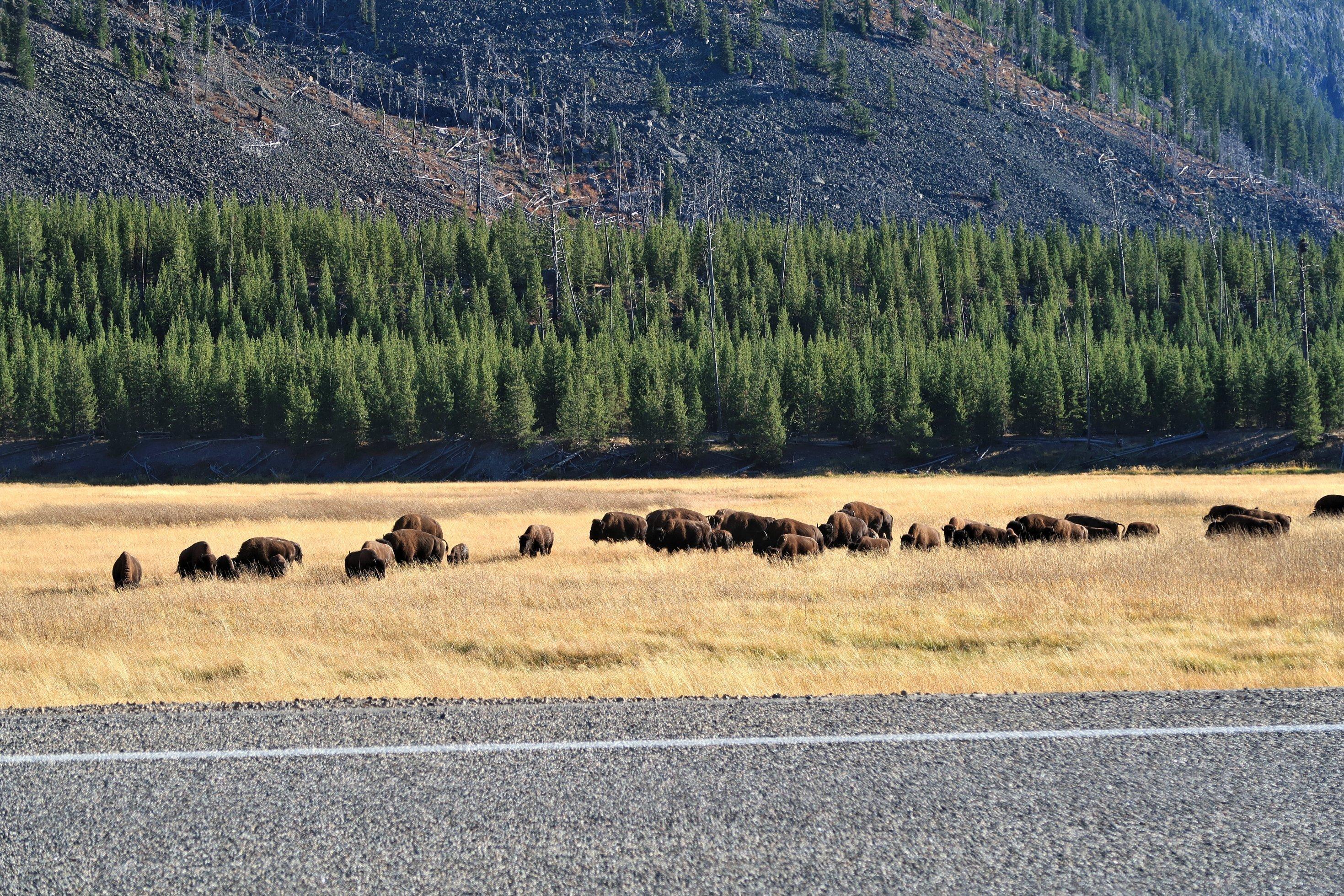 Eine Bison-Herde grast.