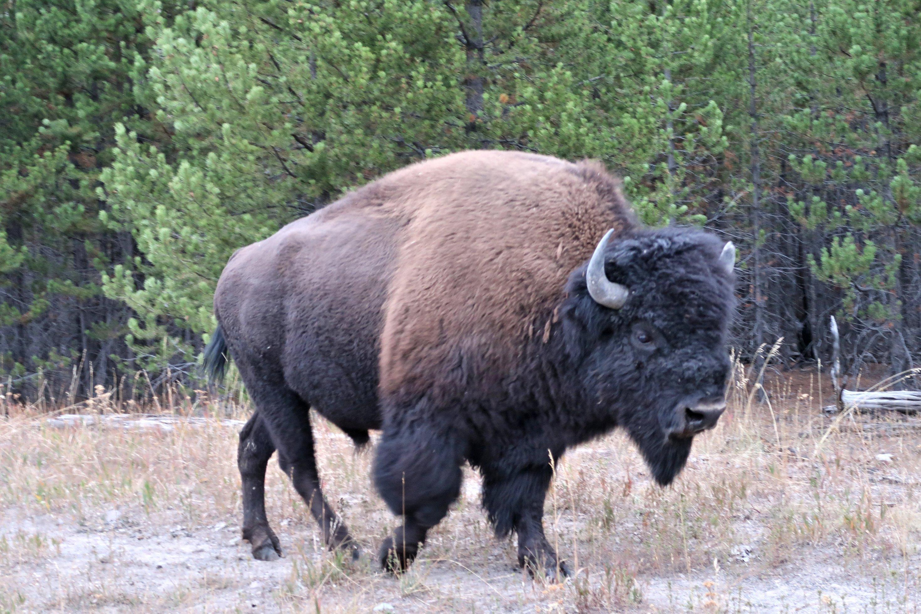 Zu sehen ist das Foto eines großen Bisons.