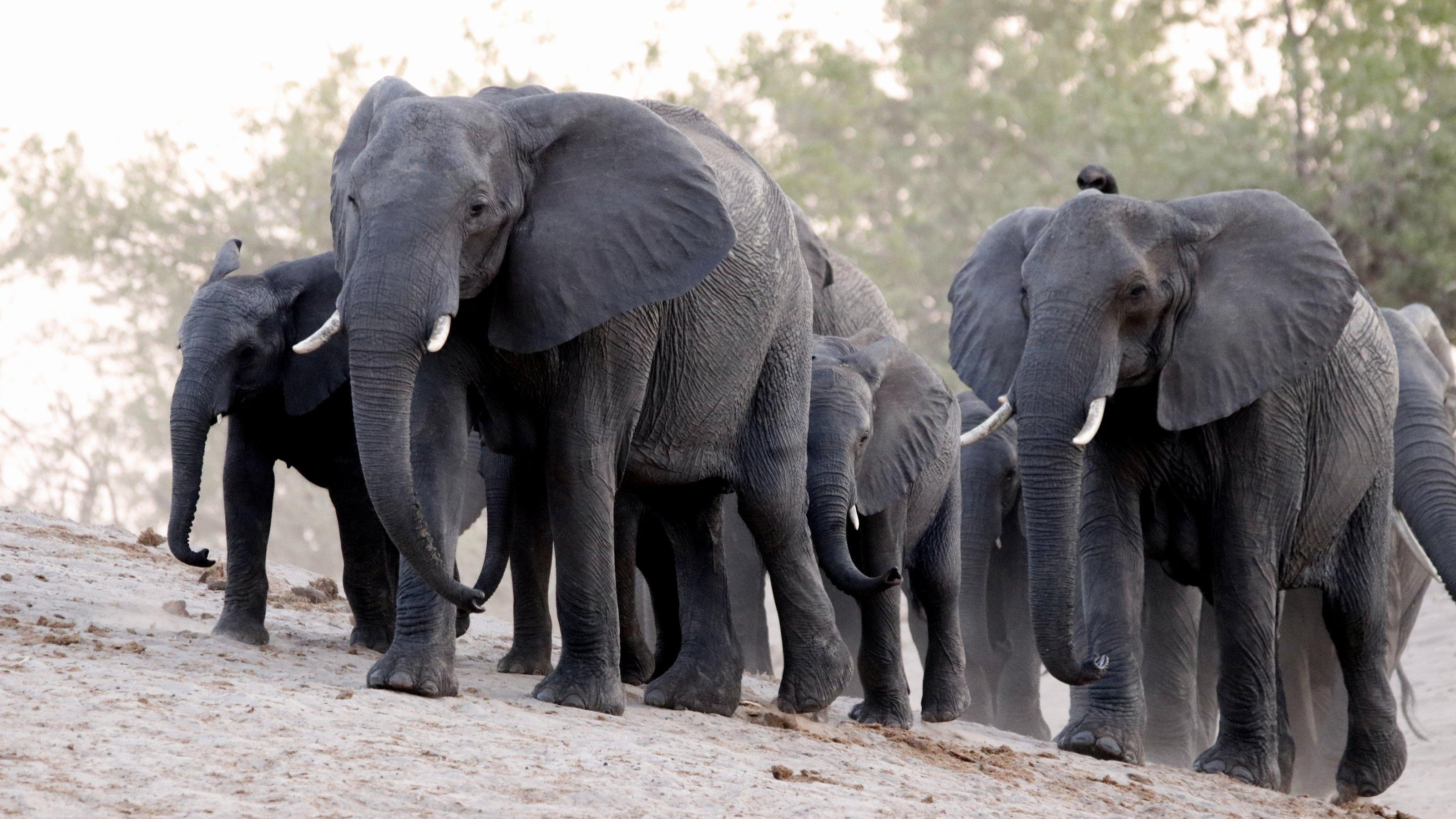 Eine Elefantenherde geht einen Hügel vom Fluss hinauf