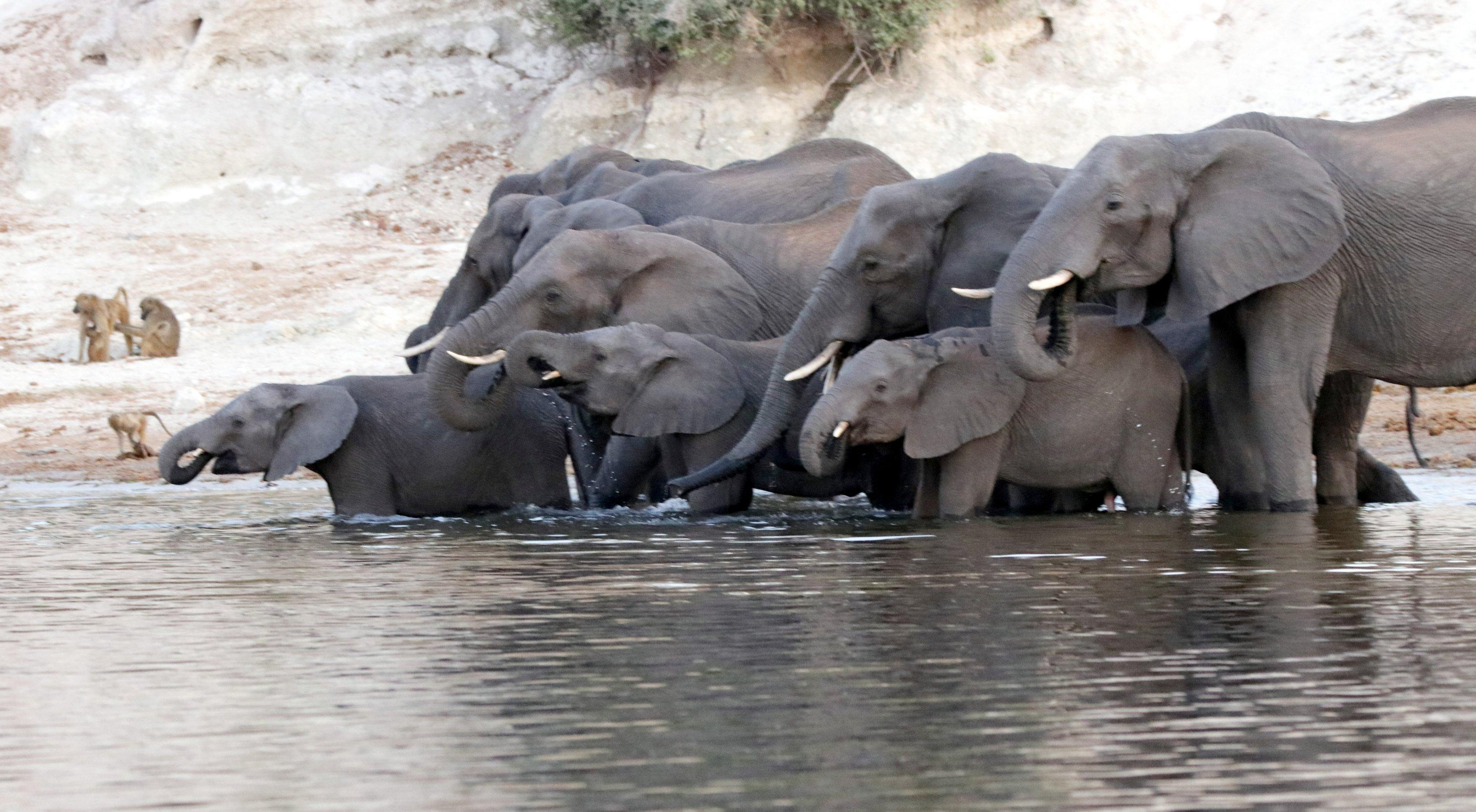 Eine Elefantenherde trinkt am Chobe-Fluss, kleinere Elefanten stehen vorne, bis zu den Knien im Wasser