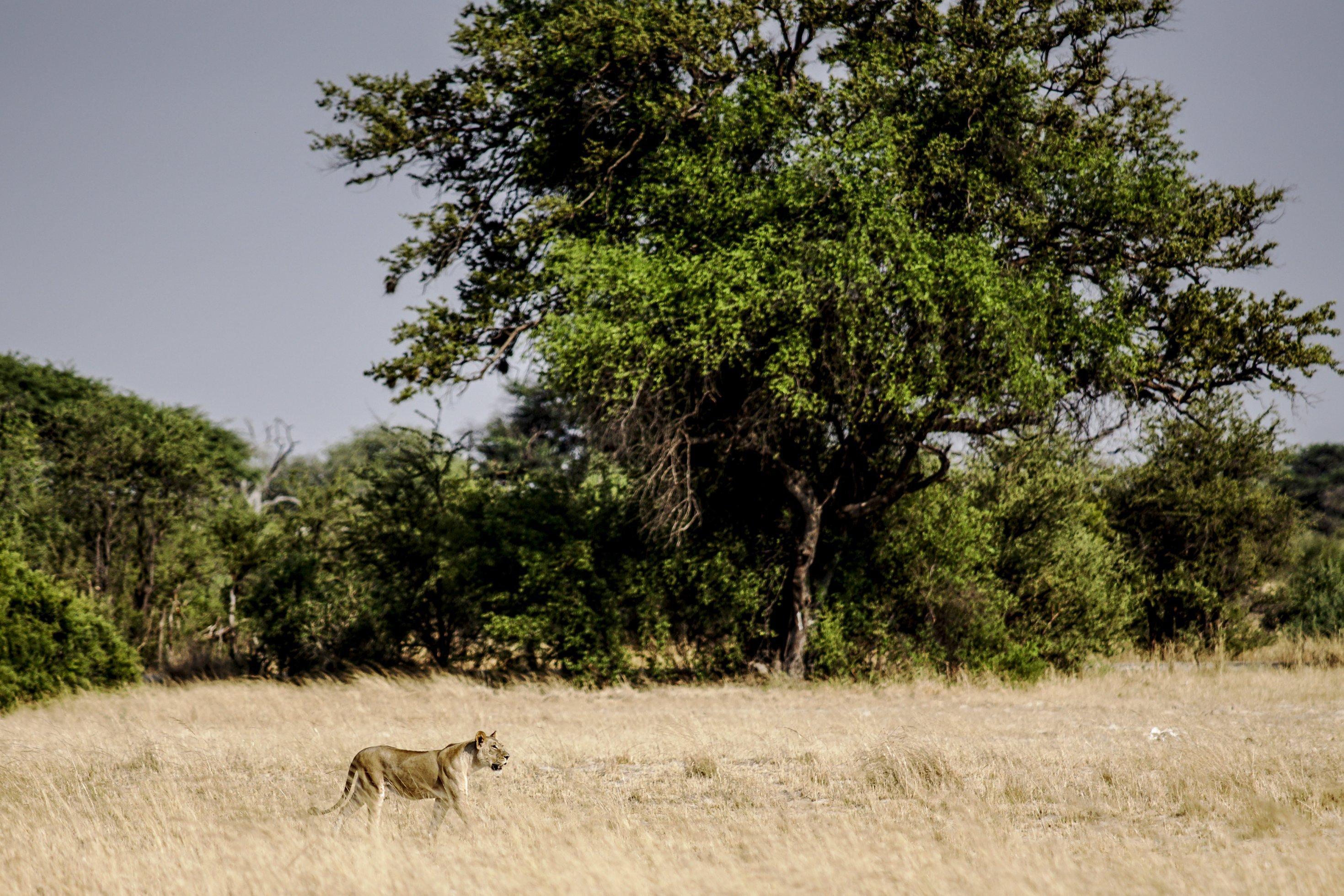 Eine Löwin streift durch langes gelbes Gras im Gebiet zwischen dem Hwange-Nationalpark und den Dörfern, hinter ihr der Waldrand mit hohen Bäumen