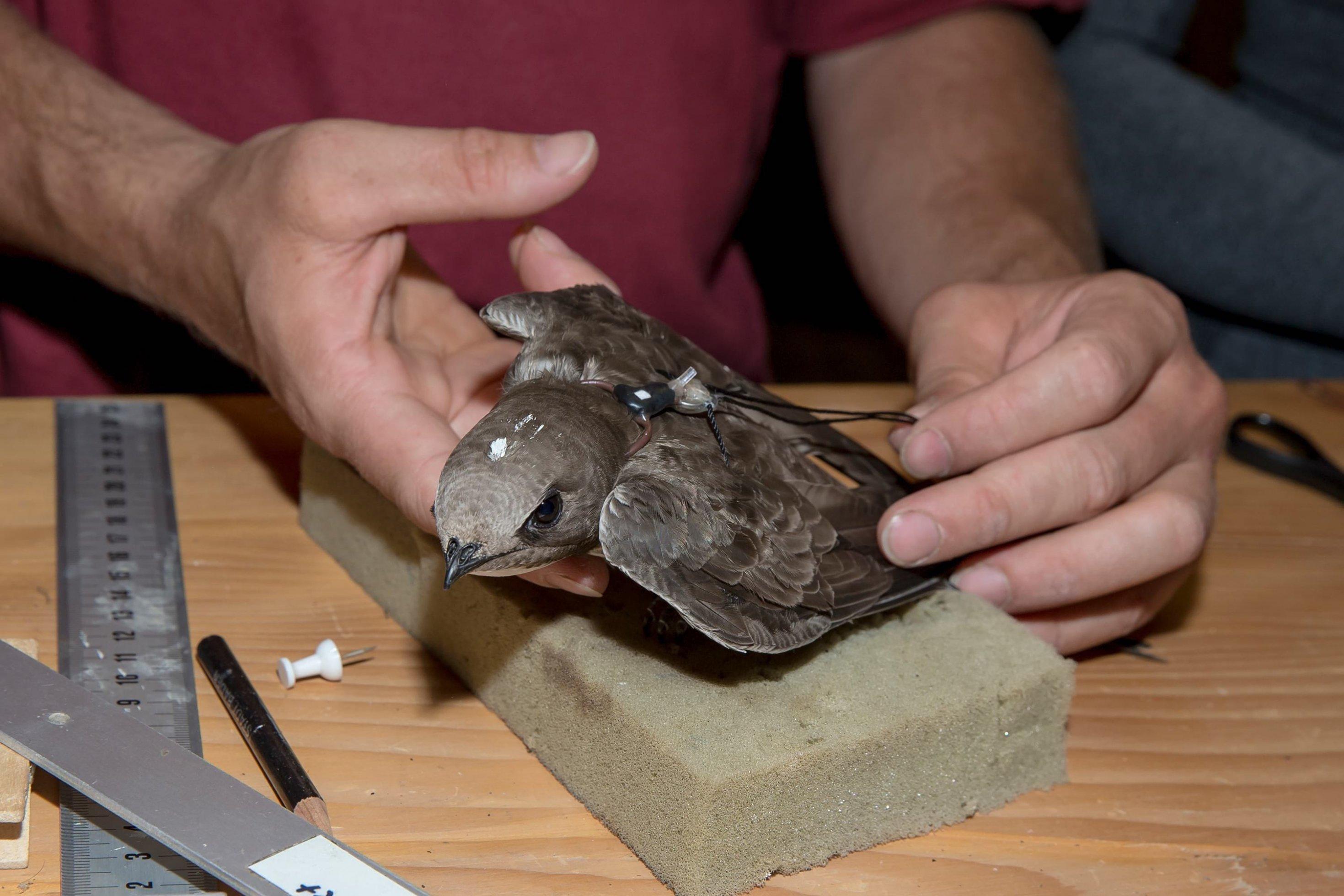 Ein Alpensegler wird mit einem Geolokator ausgerüstet. Dieser wird dem Vogel mit einer Art Rucksack auf den Rücken geschnallt.