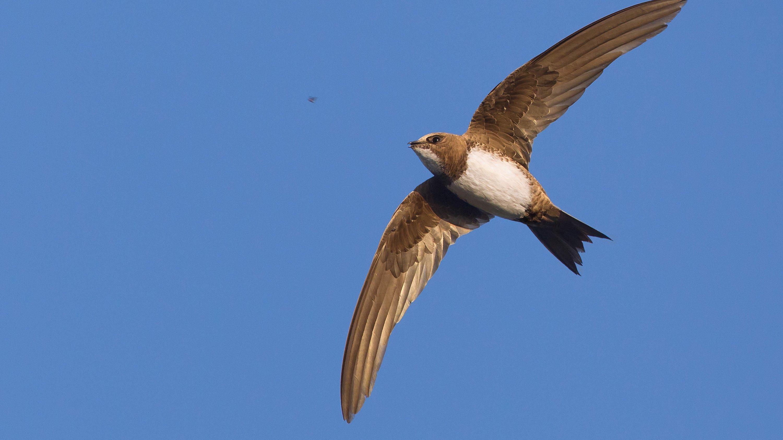 Ein Alpensegler fliegt mit ausgestreckten Flügeln im Himmel. Dabei zeigt er seinen weissen Bauch und die helle Kehle.