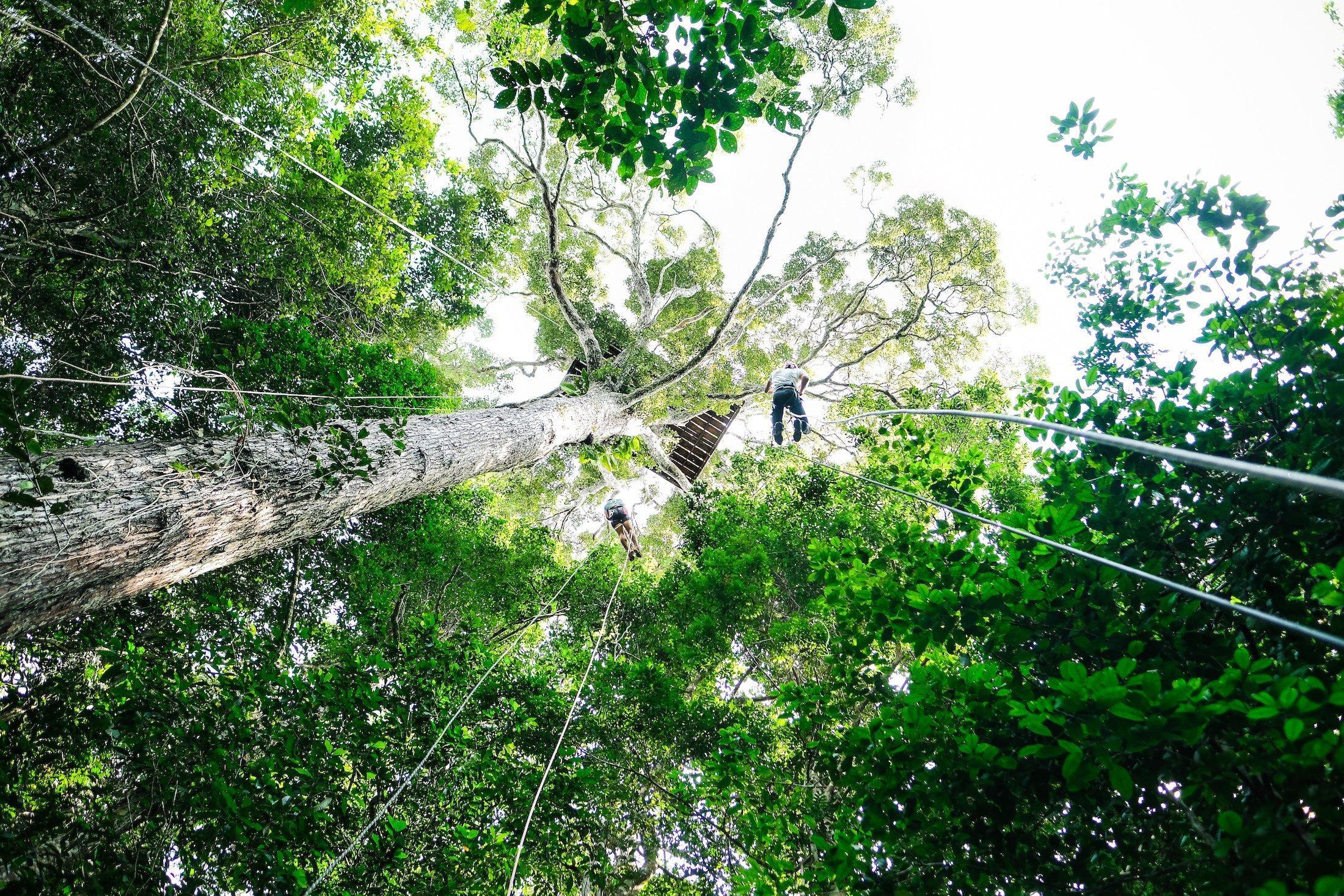 Das Bild stammt aus dem Amazonaswald und zeigt das Kronendach von unten. Auf einem der Bäume ist eine Holzplattform, von der sich zwei Menschen abseilen.