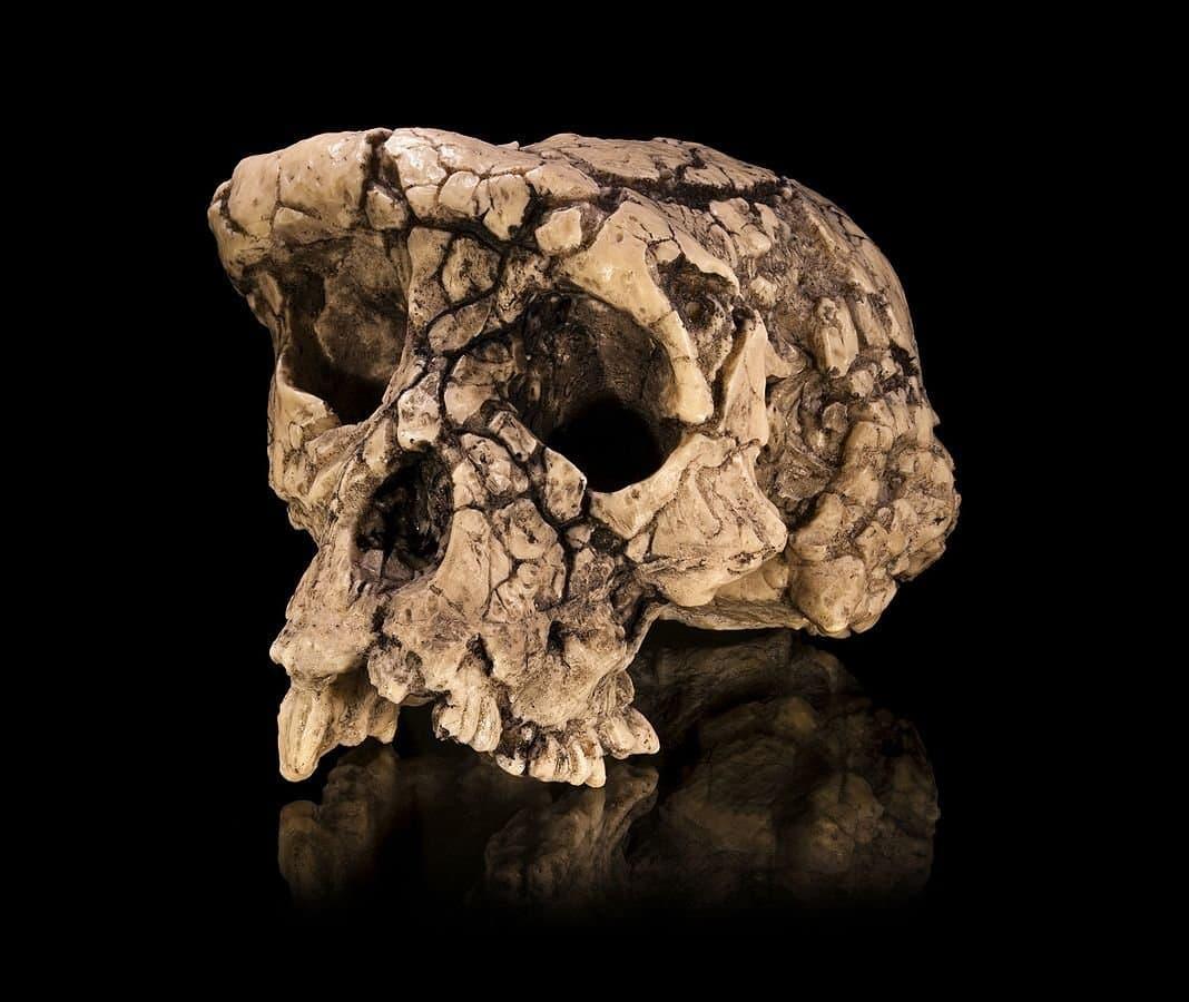Aus Bruchstücken zusammengesetzter Schädel: Replika eines Schädels von Sahelanthropus tchadensis.