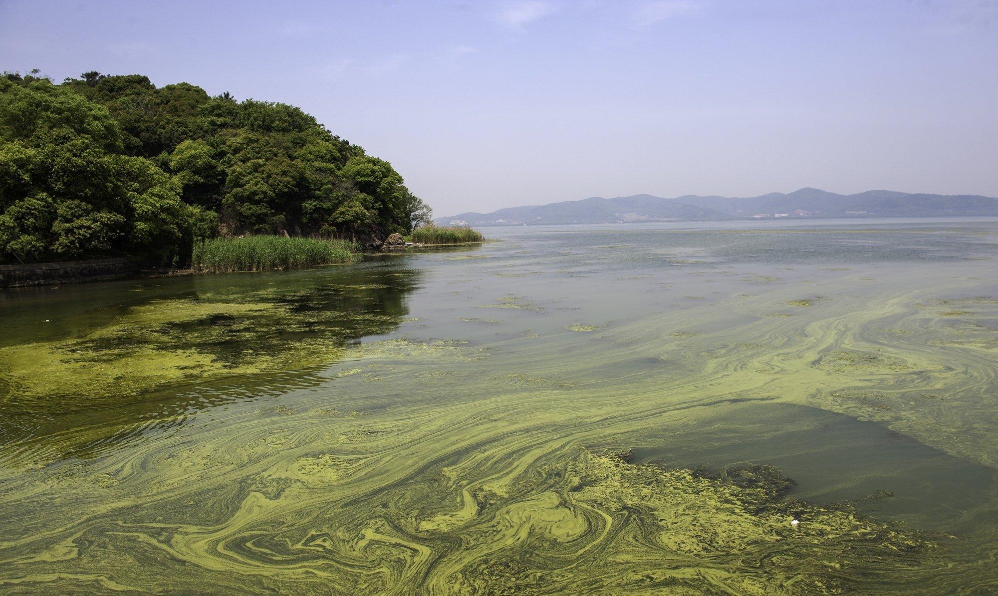 Aufnahme eines Sees mit Algenblüten. Ein grüner Film treibt auf der Wasseroberfläche.