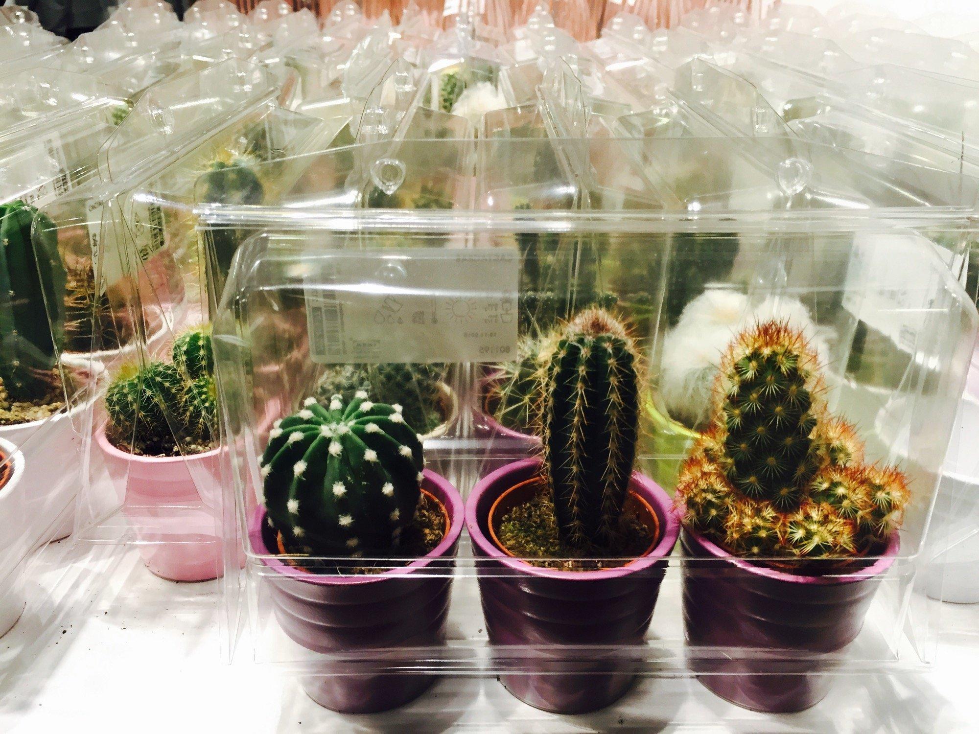 Viele kleine Kakteen in Blumentöpfen. Es sind immer drei Stück in einem durchsichtigen Plastikpaket.