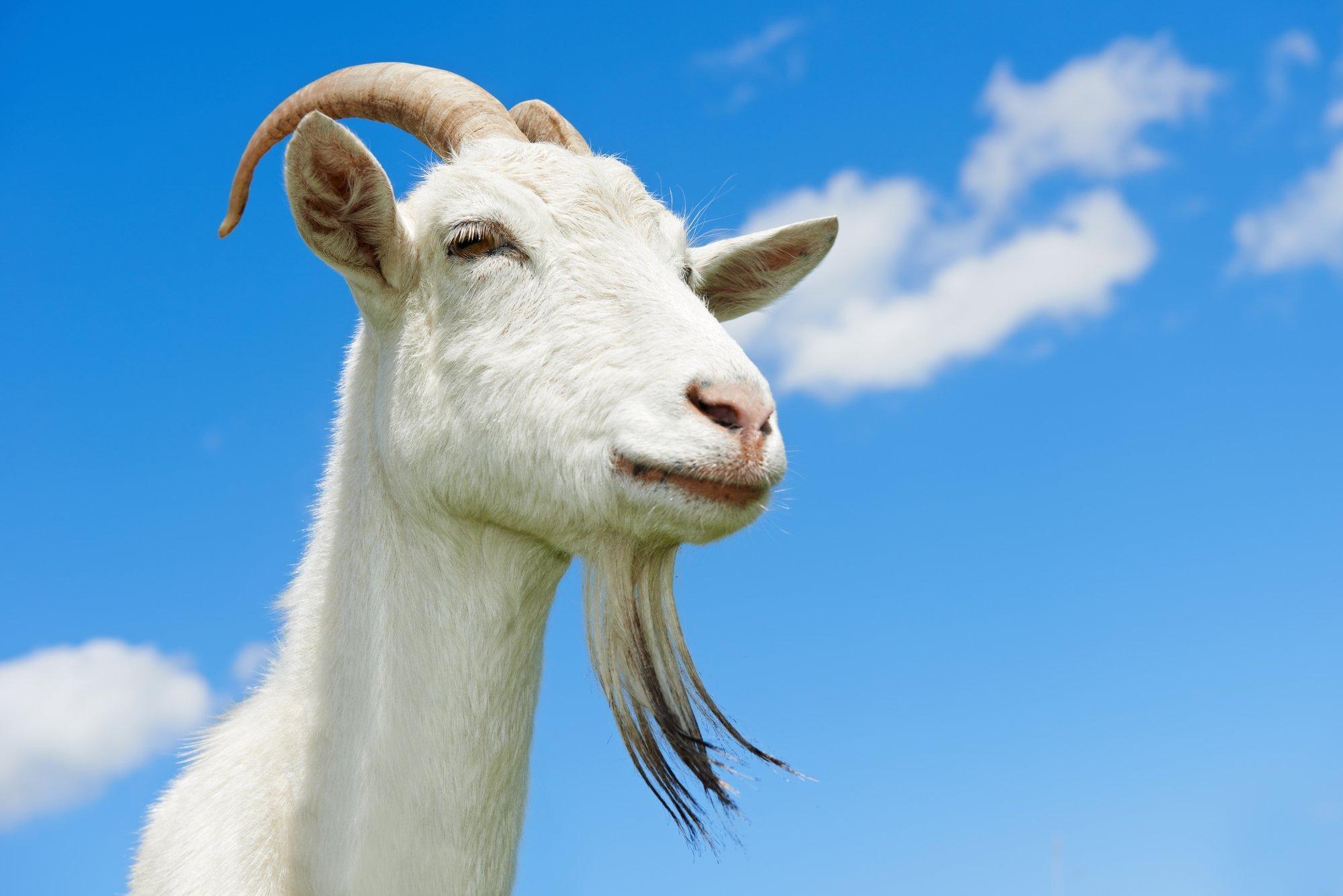 Portrait einer Ziege vor blauem Himmel.
