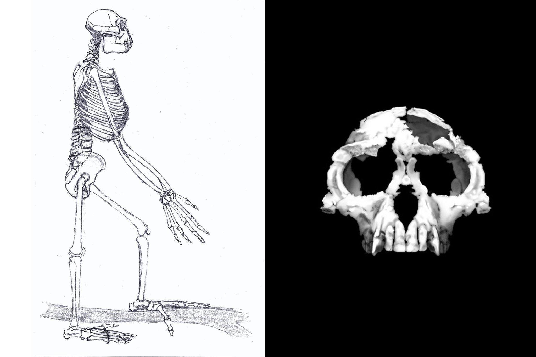 Links ist die Schwarz-weiß-Grafik vom Skelett eines aufrecht stehenden Wesens zu sehen: Der Vormensch Ardipithecus ramidus. Er zeigt lange Arme mit langen Fingern daran und Füße, die dank eines abspreizbaren großen Zehs gut Äste umgreifen können und damit für ein Leben auch auf Bäumen sprechen. Rechts ist der fossile Schädel von Ardipithecus zu sehen, der zeigt: Viel Hirn besaß dieser menschliche Verwandte noch nicht.