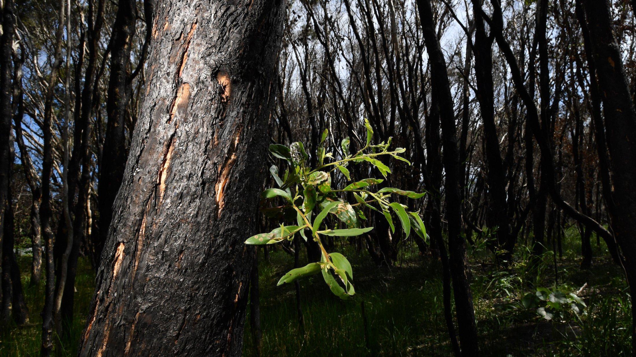 Das Bild zeigt einen vom Feuer komplett verkohlten Wald. Aber aus einem Baum wächst ein kleiner grüner Zweig heraus, wie ein Zeichen der Hoffnung.