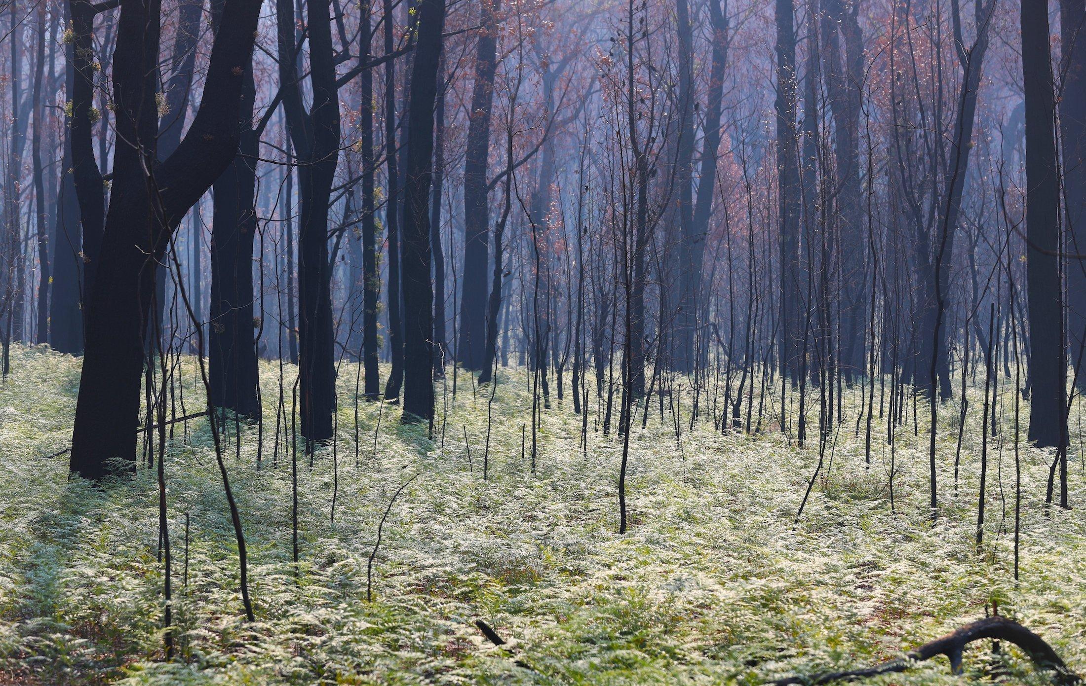 Verkohlter Wald mit nachwachsenden Farnen