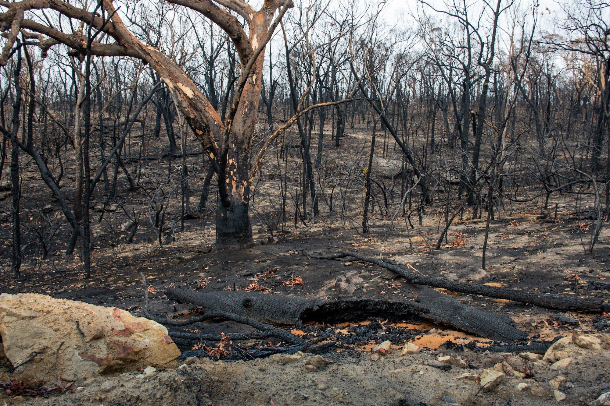 Überreste eines abgebrannten Eukalytuswald.