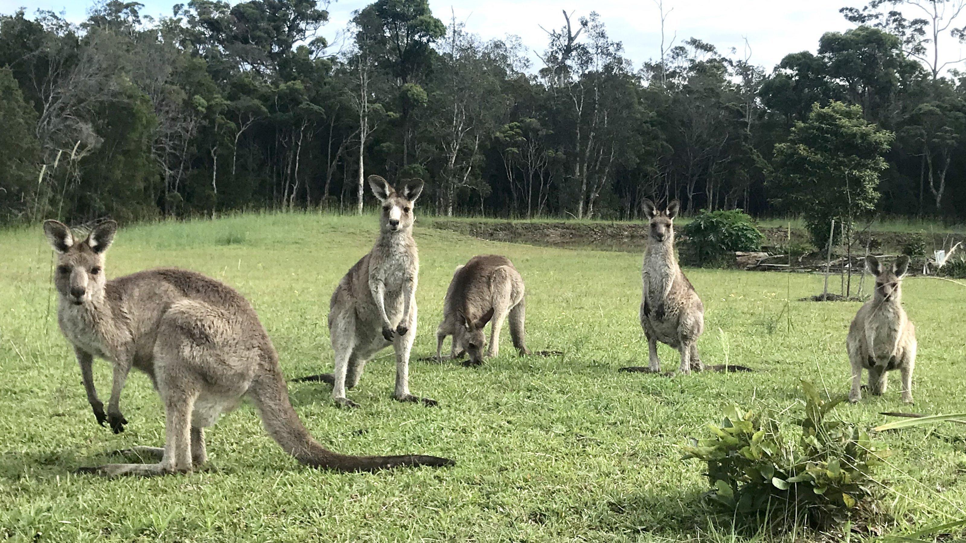 Graue Kängurus lungern auf einer Wiese an der Asutralischen Ostküste. Eastern Grey sind Australiens zweitgrößte Känguru-Art.