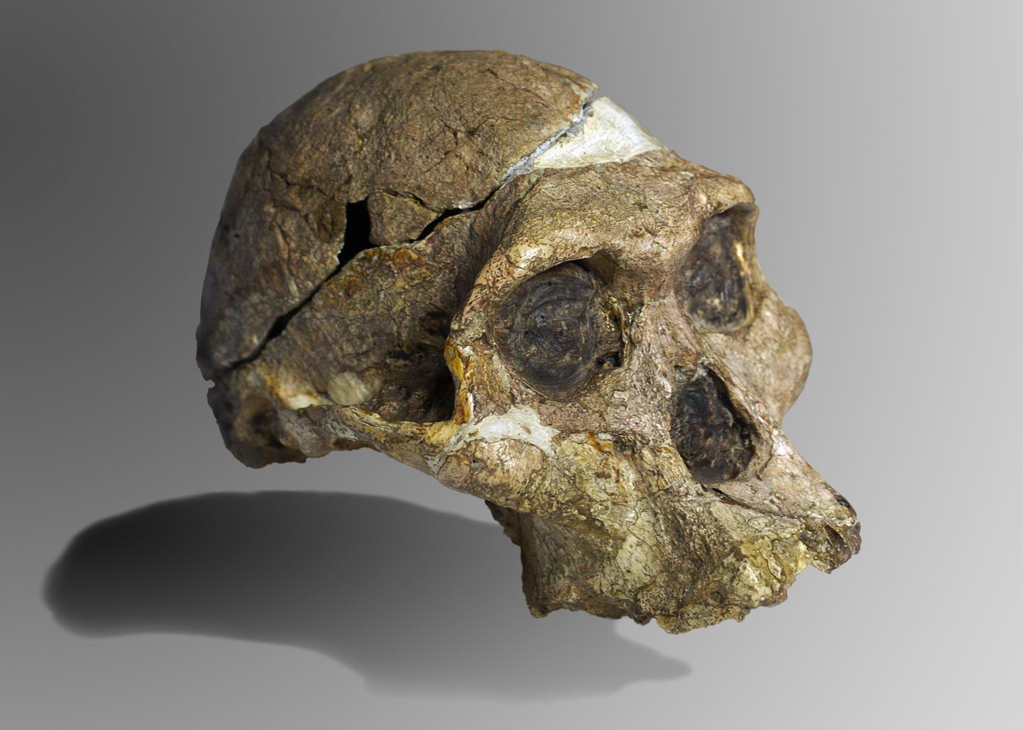 Das Foto zeigt den 1947in Südafrika gefundenen, fossilen Schädel eines Wesens, das als Australopithecus africanus bezeichnet wird. Der Schädel hat mächtige Knochenwülste über den Augen und bietet Raum für ein nur kleines Gehirn. Insgesamt erinnert er deutlich mehr an einen Schimpansen als an einen Menschen. Dennoch können Forschende an Details erkennen, dass Australopithecus den aufrechten Gang beherrschte. Mit dem Wesen war ein Bindeglied zwischen Mensch und Affe gefunden worden, das Darwins Theorie von der Evolution bestätigte.