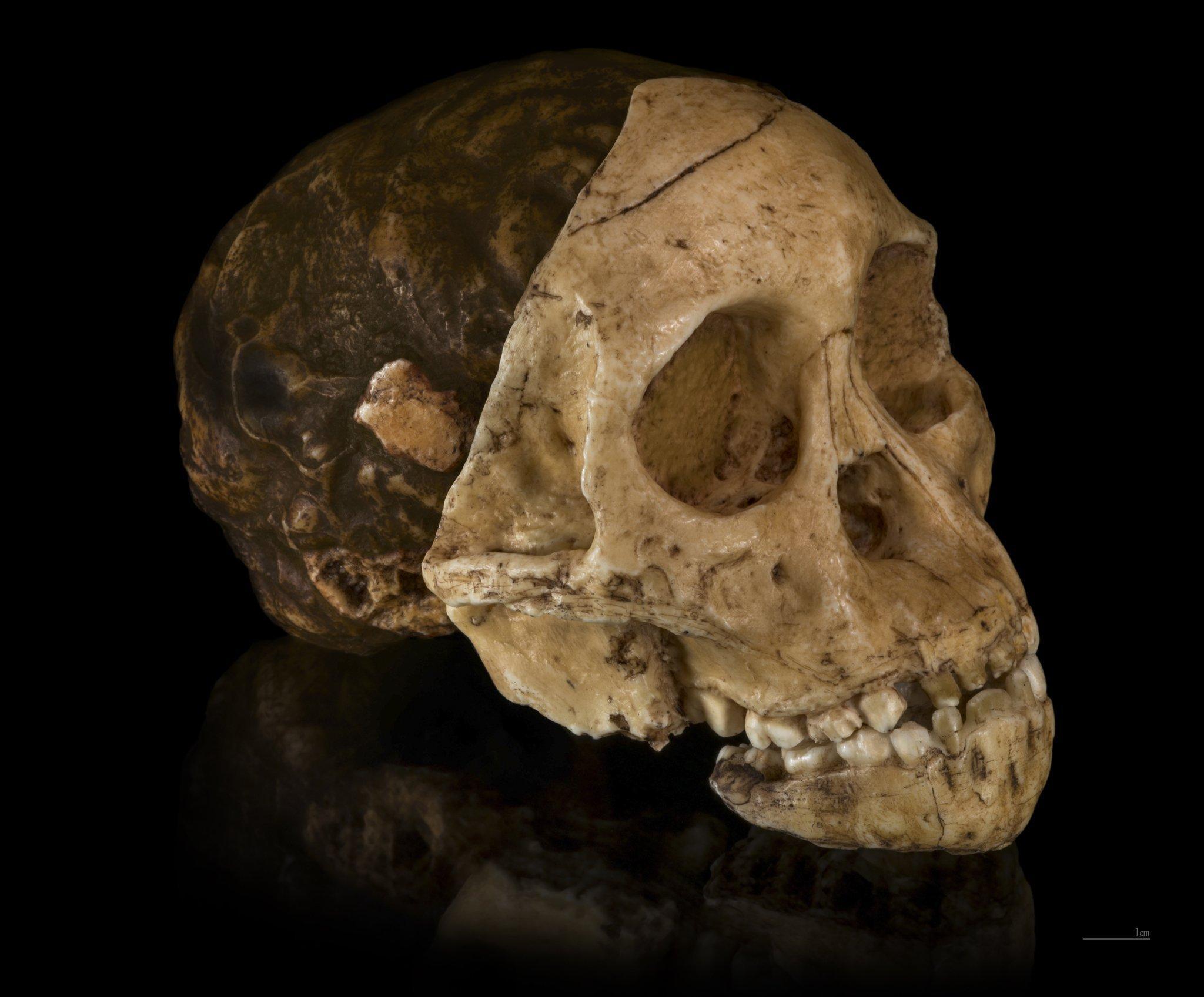 Hier ist die Versteinerung eines in Südafrika gefundenen Schädels zu sehen, der einst einem jungen, affenähnlichen Wesen gehörte. Es wird als Kind von Taung bekannt und von Professor Raymond Dart untersucht. Dem Forscher wird klar: In Südafrika lebte in der Urzeit ein seltsames Mischwesen zwischen Affe und Mensch.