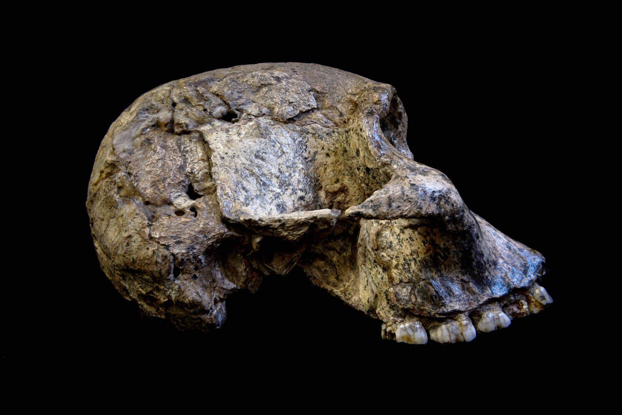 Abgebildet ist der fossile, von der Seite fotografierte Schädel eines Australopithecus africanus. Diese Vormenschen, deren Schädel noch recht stark denen von Schimpansen ähneln, lebten vor 3bis 2,1Millionen Jahren in den Savannen Afrikas. In ihrem Stillverhalten waren sie allerdings sehr flexibel, wie Zahnanalysen jetzt erwiesen.