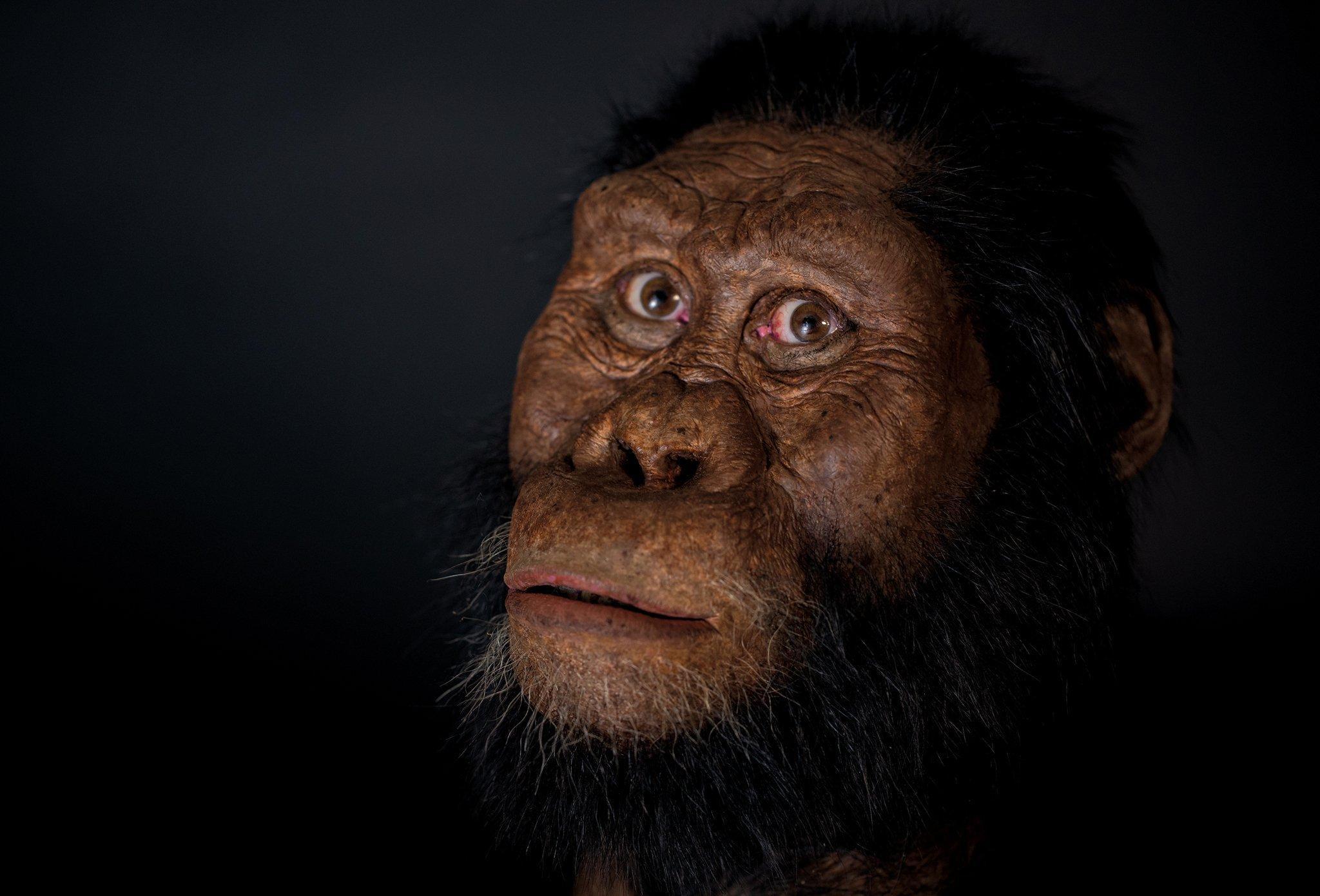 Die Rekonstruktion von Australopithecus anamensis zeigt ein behaartes, äffisches Wesen mit einem bewussten, menschlich wirkenden Blick.  Erstmals ließ sich das Gesicht dieses Vormenschen modellieren – anhand eines kürzlich entdeckten Schädelfossils.