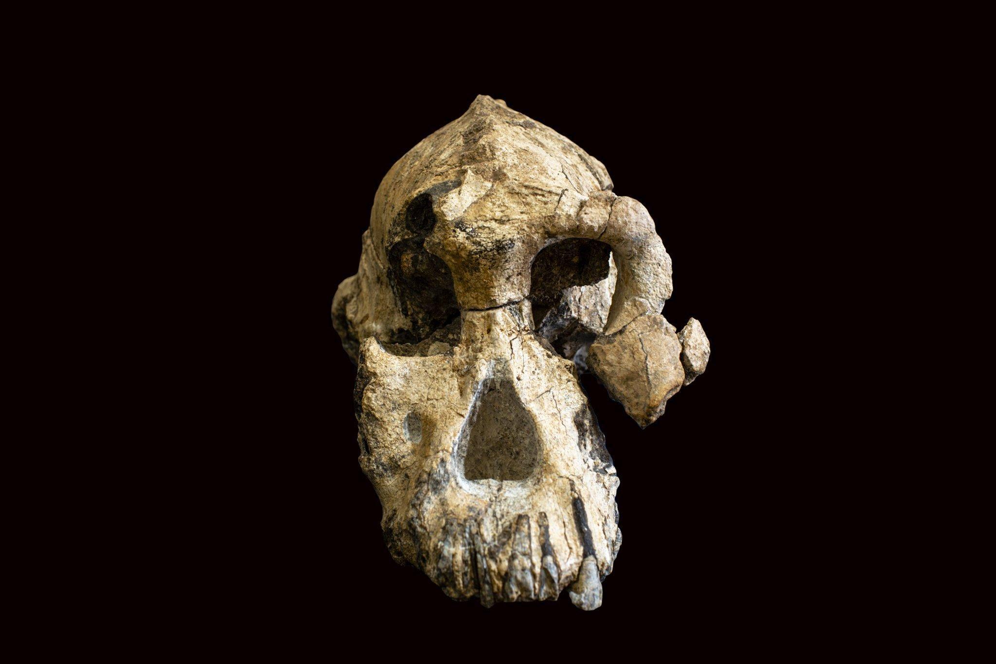 Abgebildet ist die Frontalansicht des 3,8Millionen Jahre alten Schädels von Australopithecus anamensis. Der Schädel offenbart ein Wesen mit kräftig gebauten Augenhöhlen und ausladenden Wangenknochen. Einen derart vollständigen Schädel eines Vormenschen haben die Forscher bislang selten gefunden