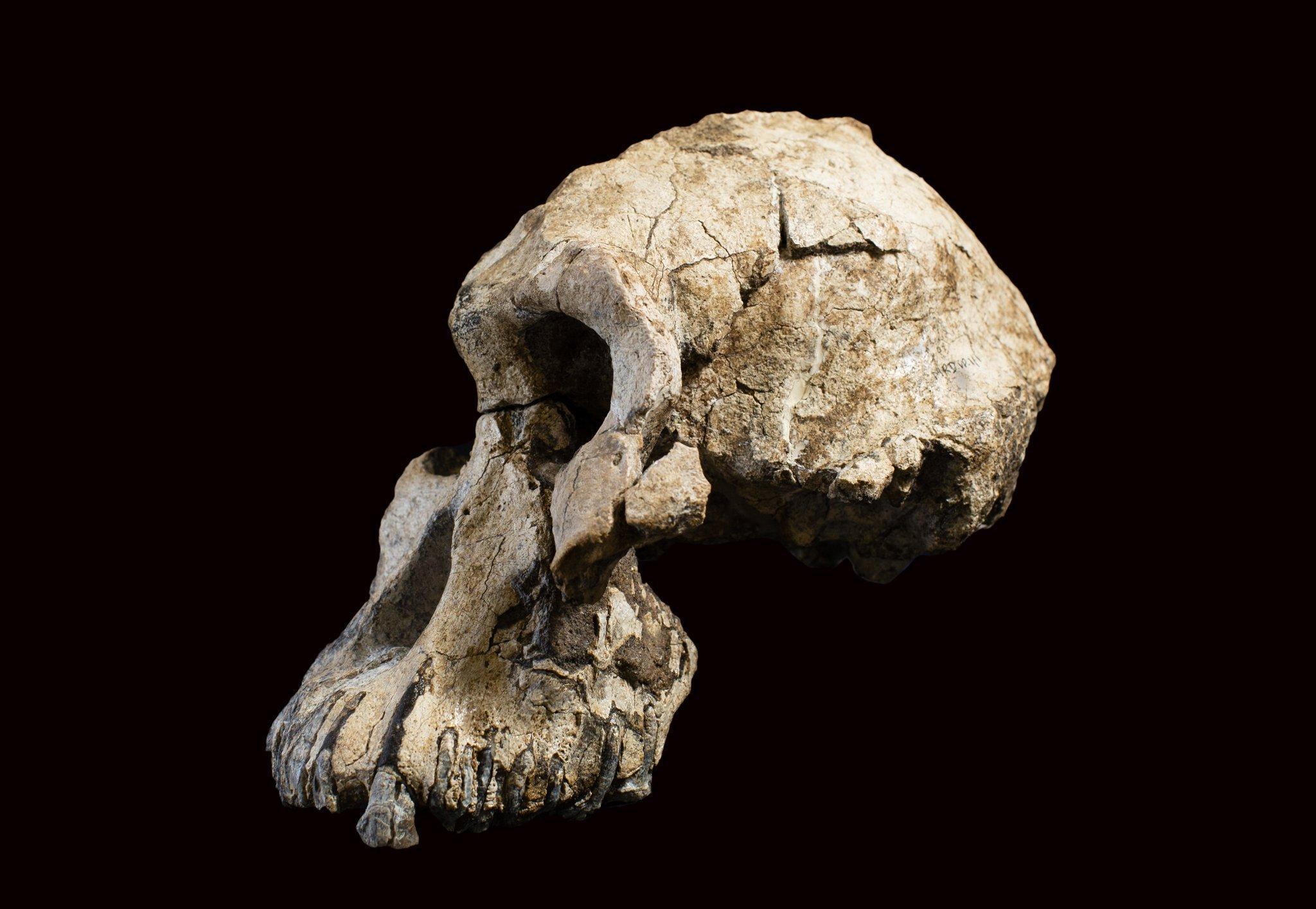 Abgebildet ist die seitliche Ansicht des Schädelfossils von Australopithecus anamensis: Kräftig gebaut waren Kiefer und Zähne des Vormenschen, doch besaß er nur ein kleines Gehirn und sein Schädel war schmal und länglich.