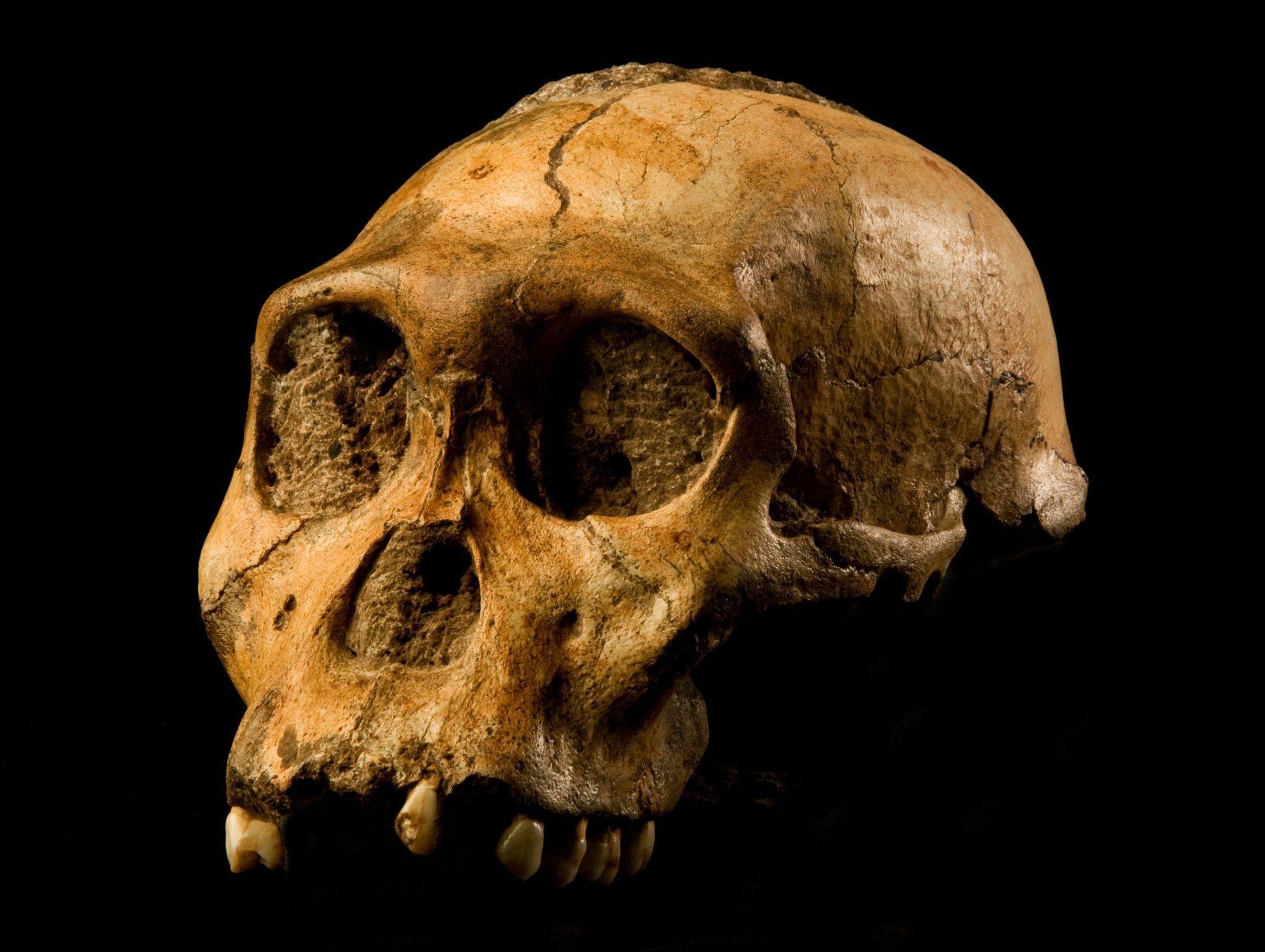 Auf dem Foto ist der sehr gut erhaltene, knapp zwei Millionen Jahre alte Schädel von Australopithecus sediba zu sehen. Der Vormensch wirkt noch affenähnlich und hatte ein recht kleinen Gehirn mit nur 420Kubikzentimeter Volumen. Das ist kaum größer als das Gehirn eines Schimpansen. Der in Südafrika gefundene Vormensch lebte zeitgleich mit den ersten Vertretern der Gattung Homo.