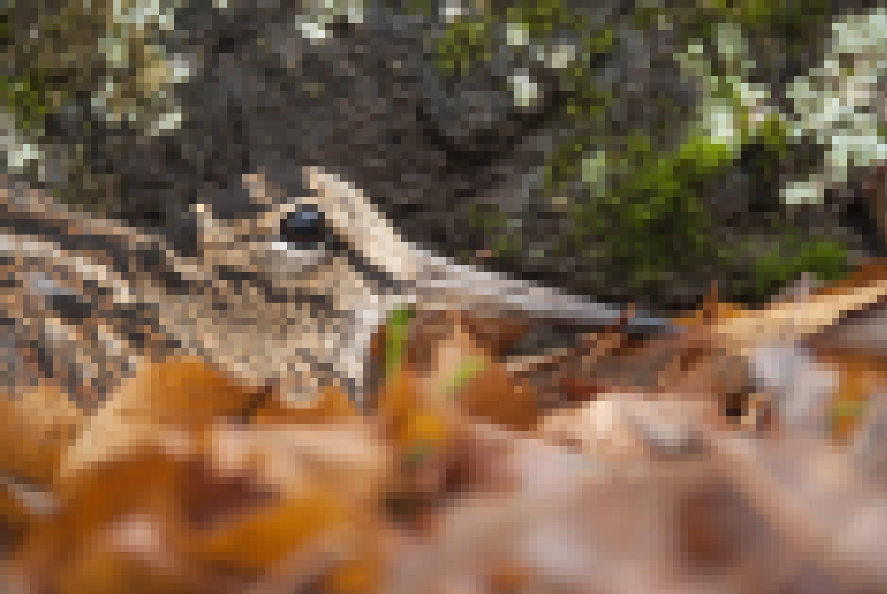Eine Waldschnepfe sitzt gut getarnt zwischen braunen Blättern auf dem Waldboden.