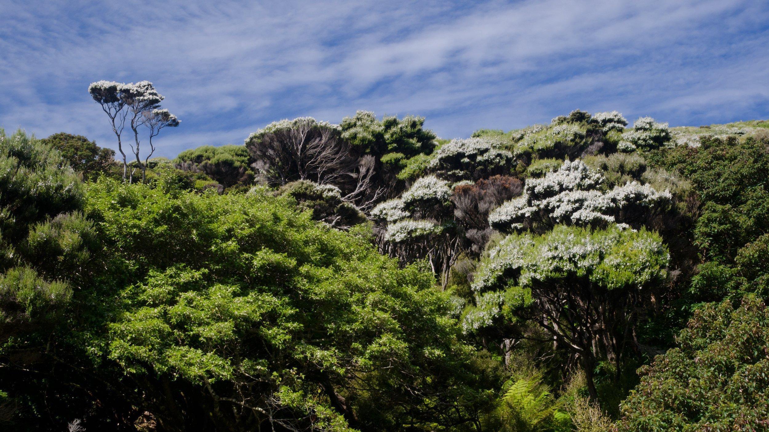 Anblick des temperierten Regenwalds von Neuseeland mit weiß blühenden Bäumen.