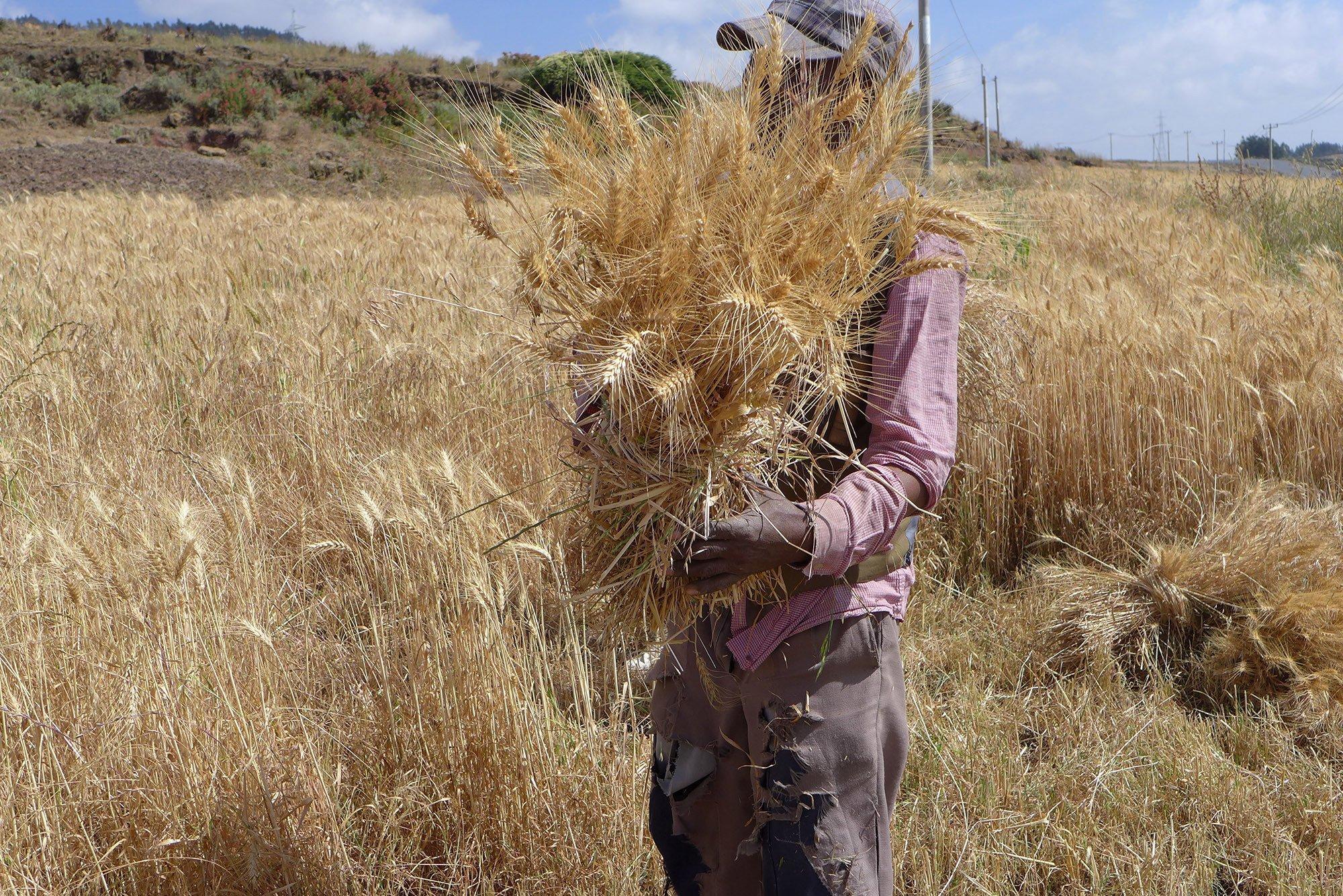 Ein Bauer in Äthiopien bindet eine Garbe Weizen.