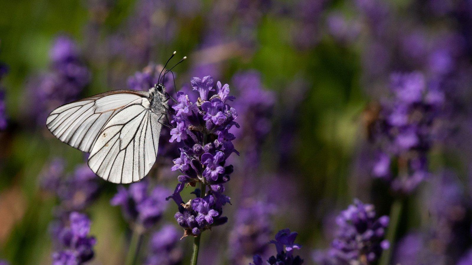 Ein weißer Schmetterling auf Lavendelblüten.
