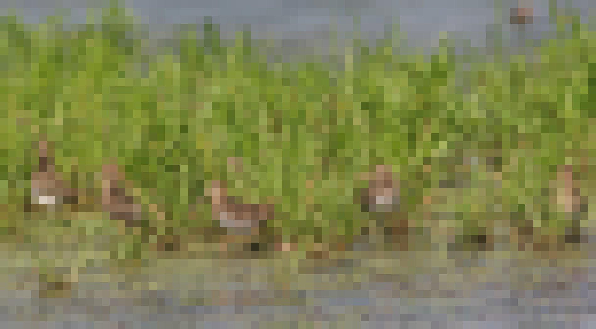 Eine Gruppe Bekassinen steht auf einer überschwemmten Wiese.