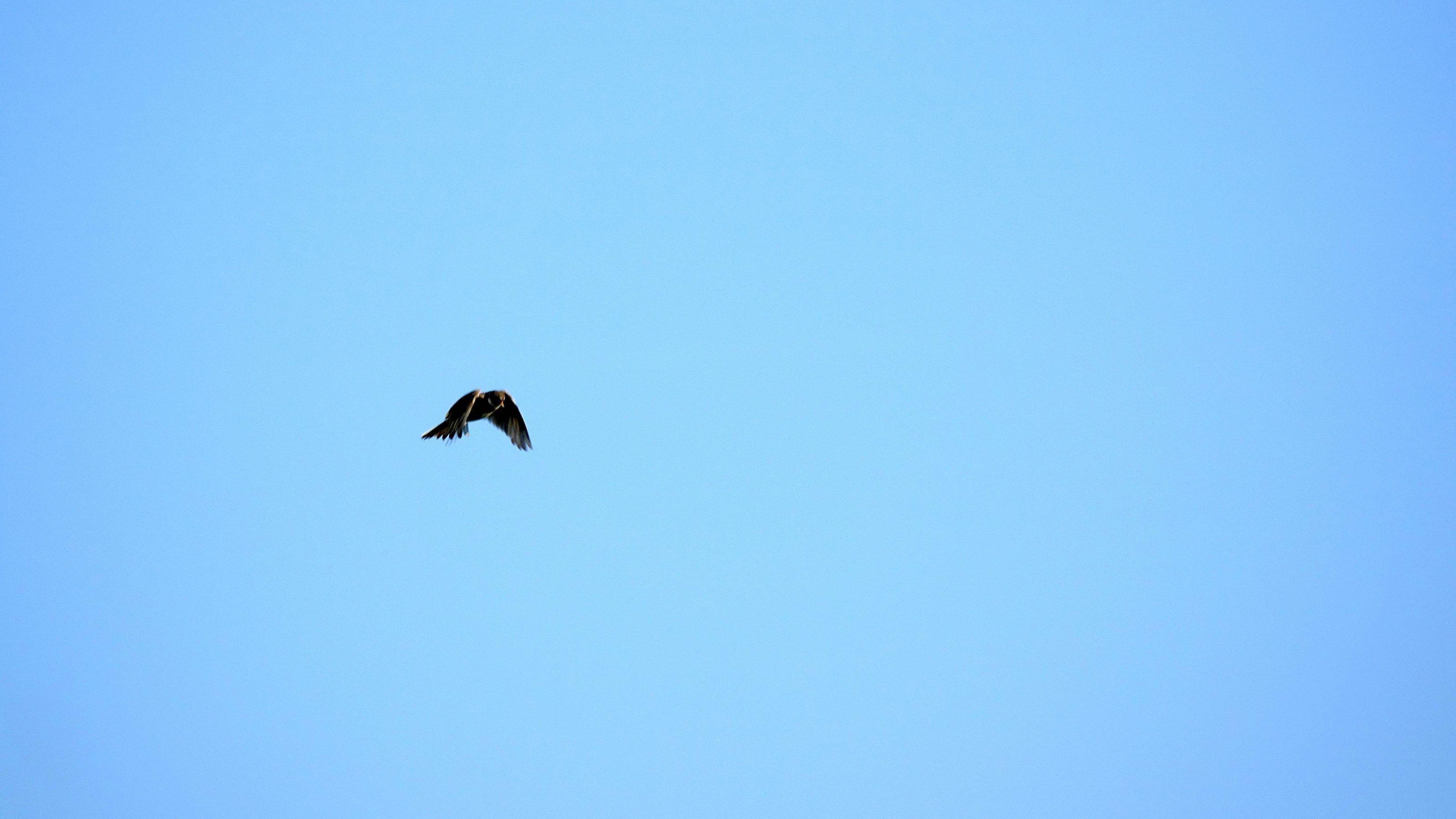 Eine Lerche fliegt am Himmel.