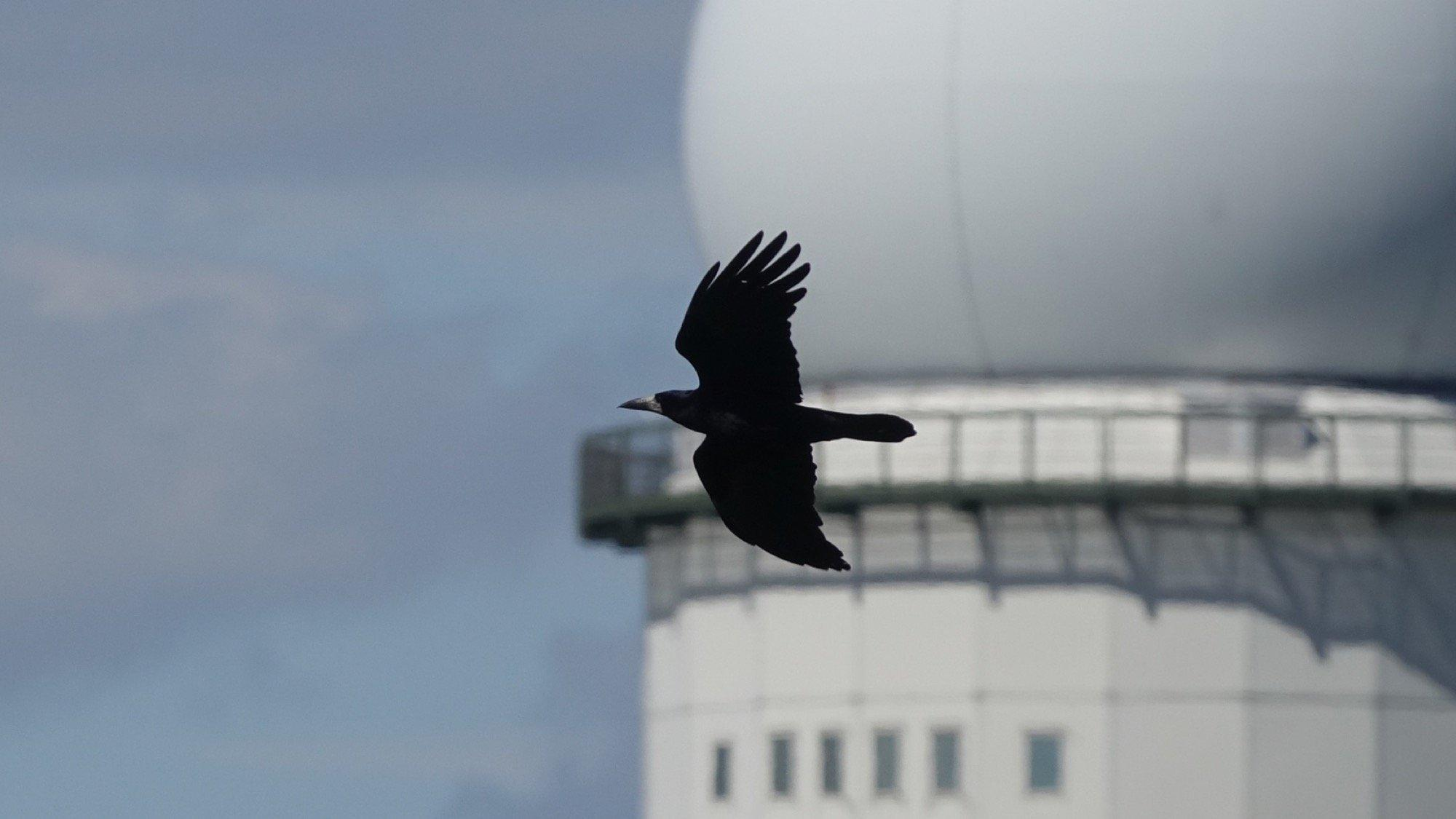 Eine Saatkrähe im Flug vor dem Flugkontrollturm des Tempelhofer Felds.