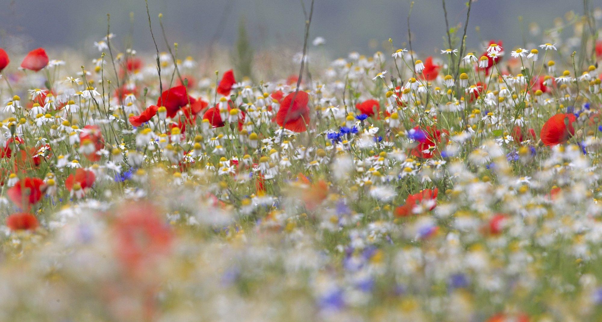 Eine bunt blühende Wiese aus Mohn, Kornblumen und weiteren Wildpflanzen
