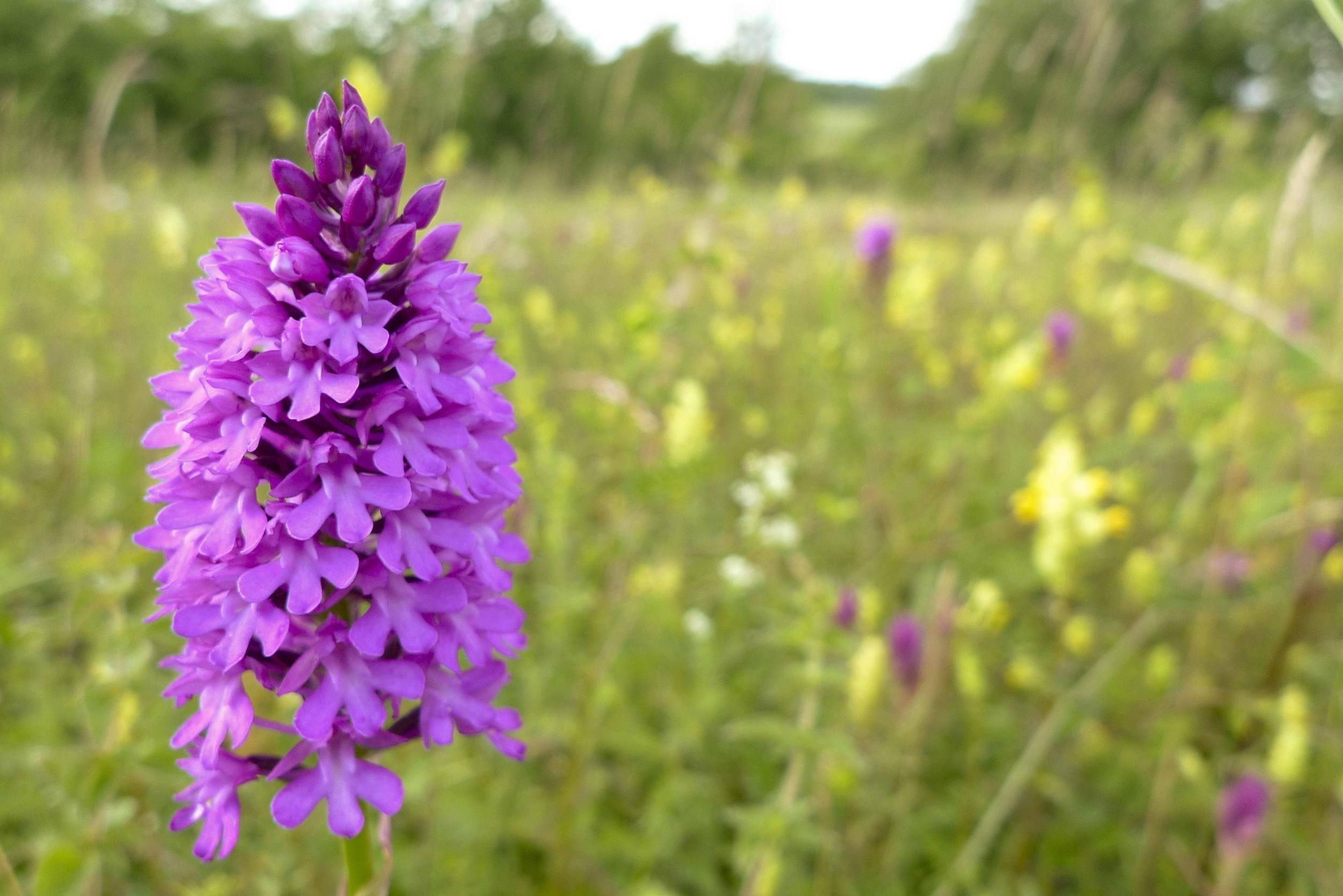 Die üppig blühende Pyramiden-Spitzorchis (Anacamptis pyramidalis) steht in einer Wiese mit weiteren Orchideen.