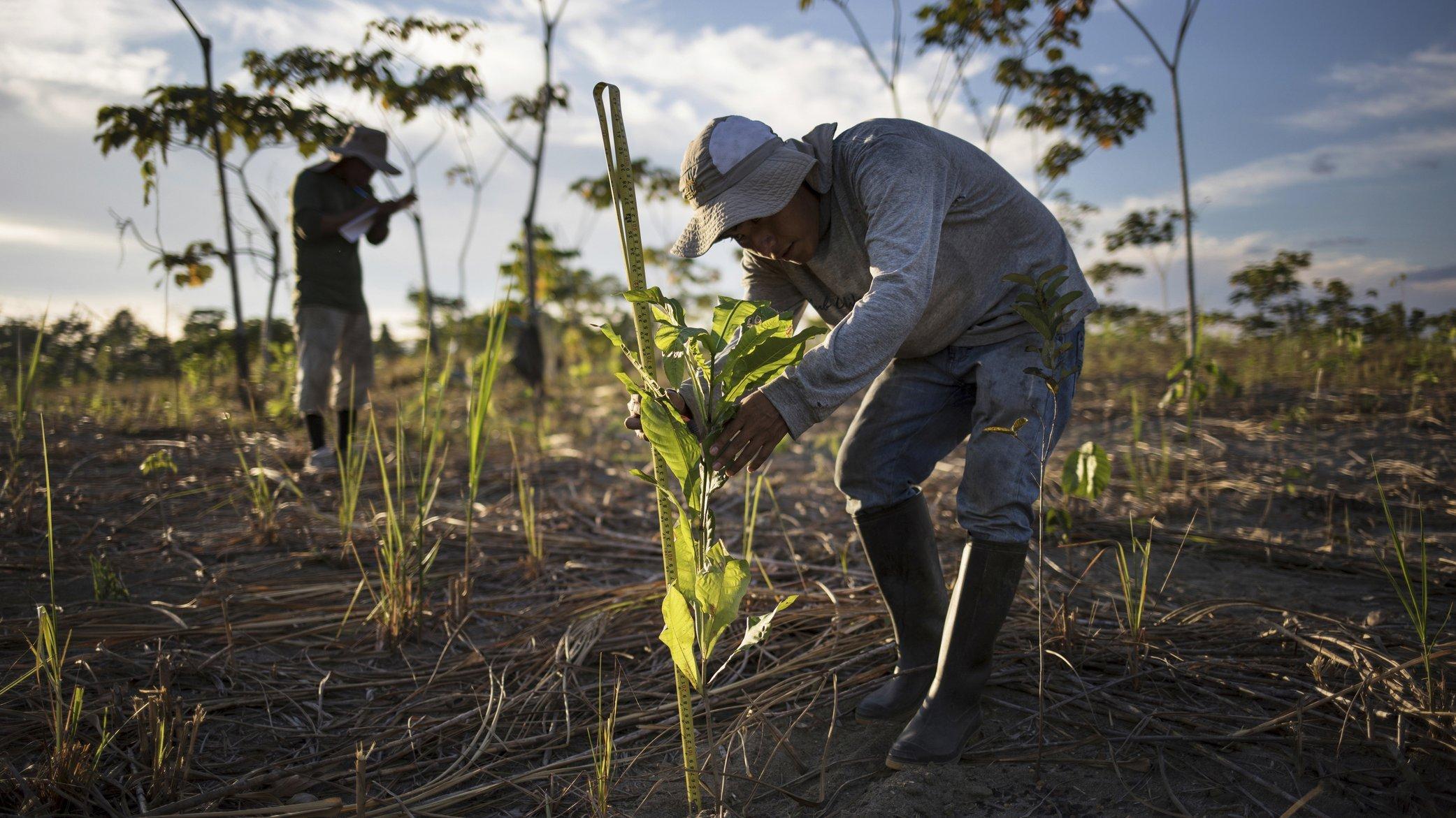 Ein Mann bückt sich, um die Größe eines frisch gepflanzten Baums zu messen.